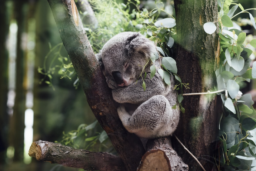koala sleeping on tree branch