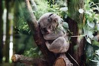 koala sleeping on tree branch
