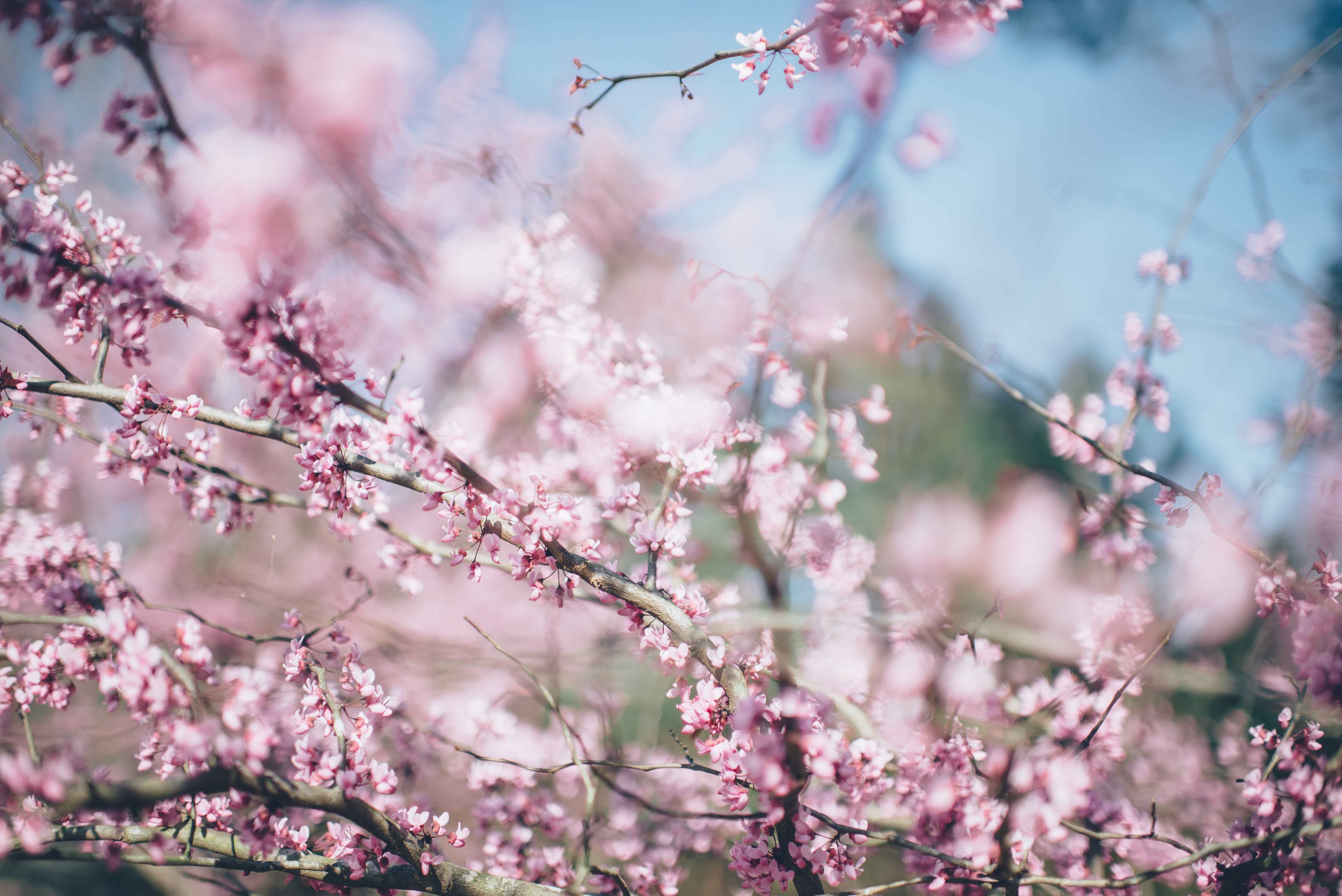 Branches with pink cherry blossom close up with blue sky background in Spring