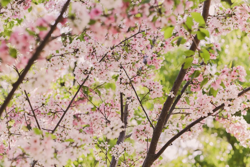 macro photography of pink cherry blossoms