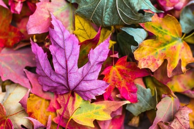 flat lay photography of purple and red leaves color zoom background