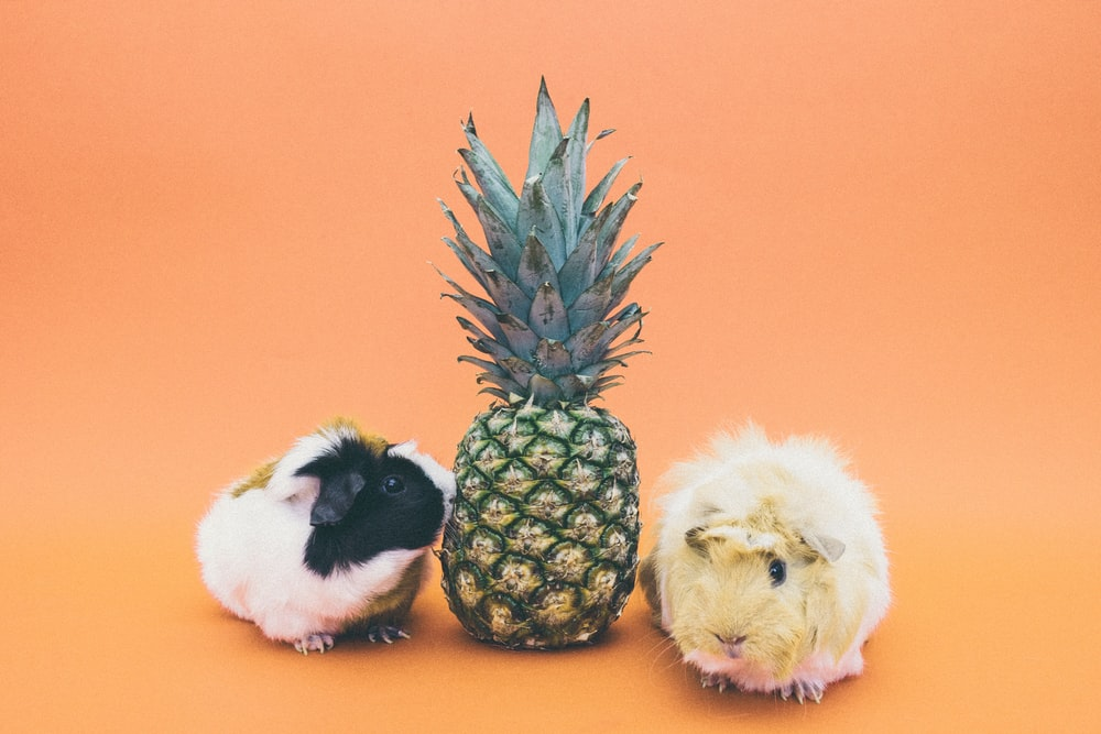 two guinea pigs beside pineapple fruit
