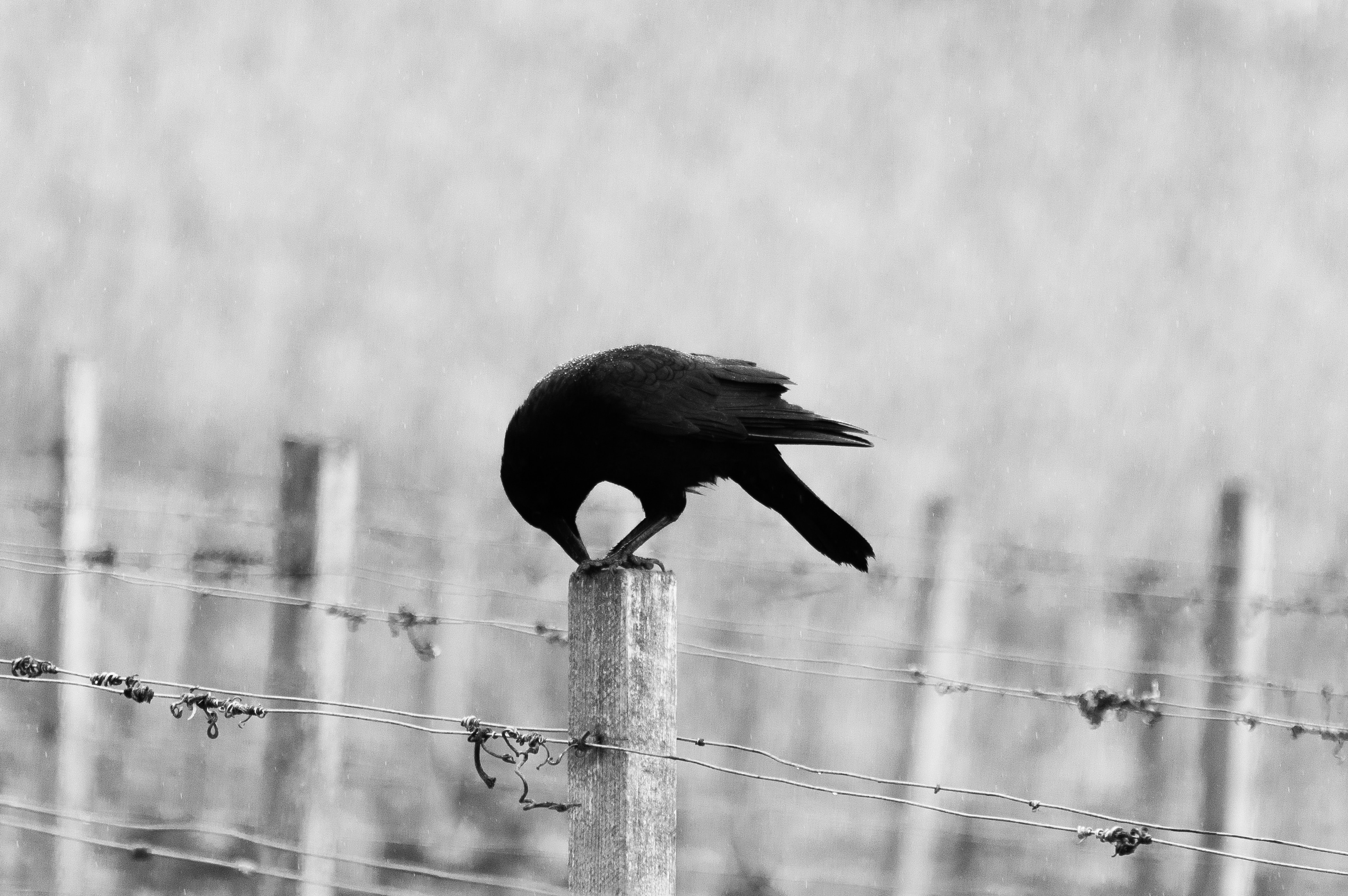Raven stories