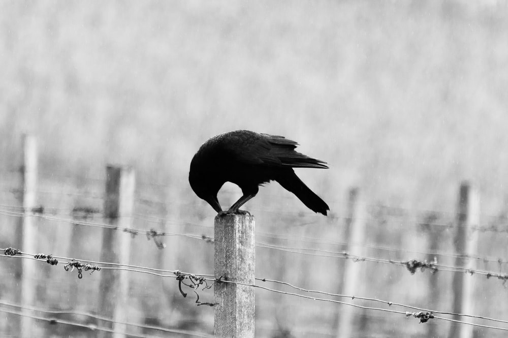 black bird perching on white wooden post
