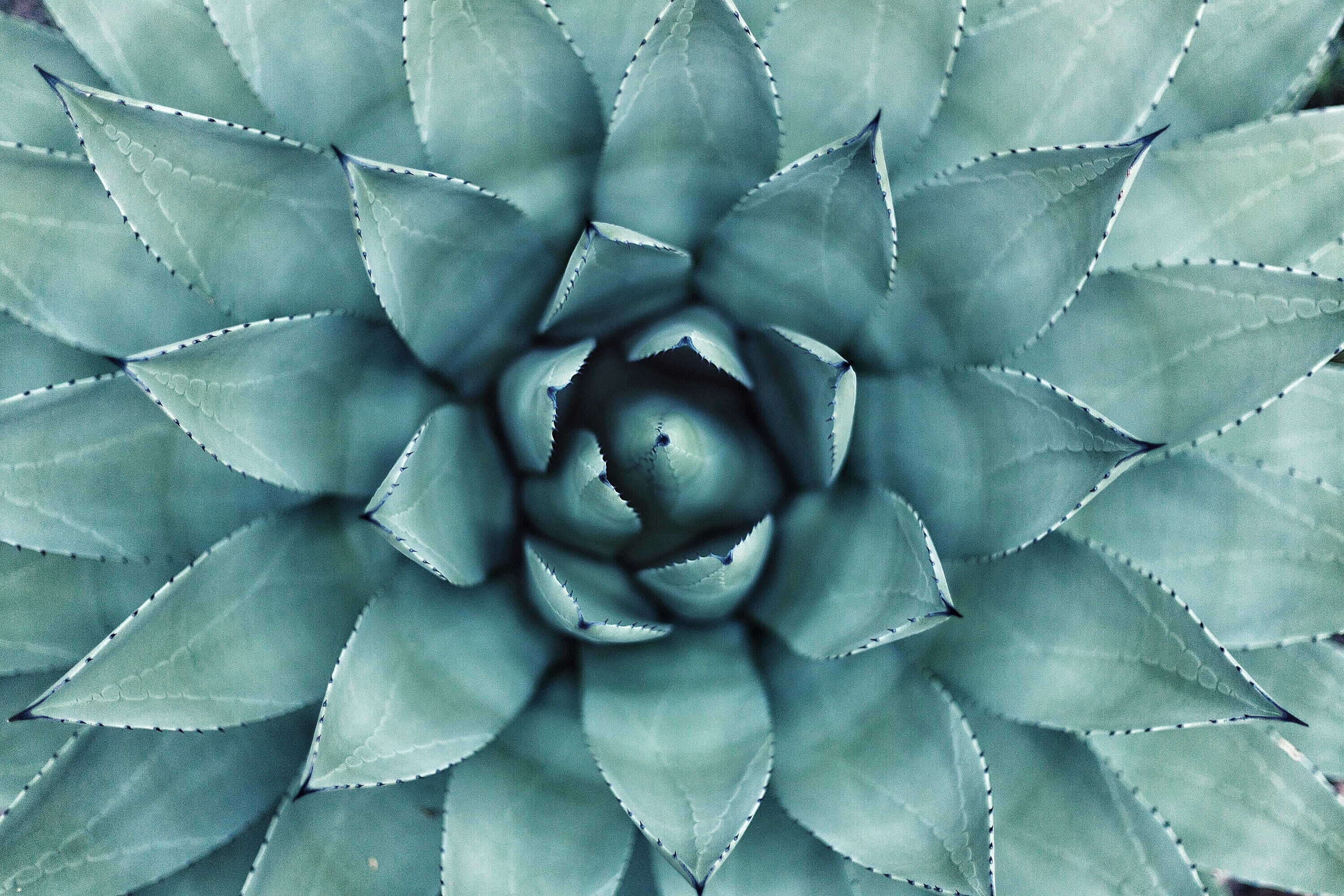 A macro shot of the center of a green succulent