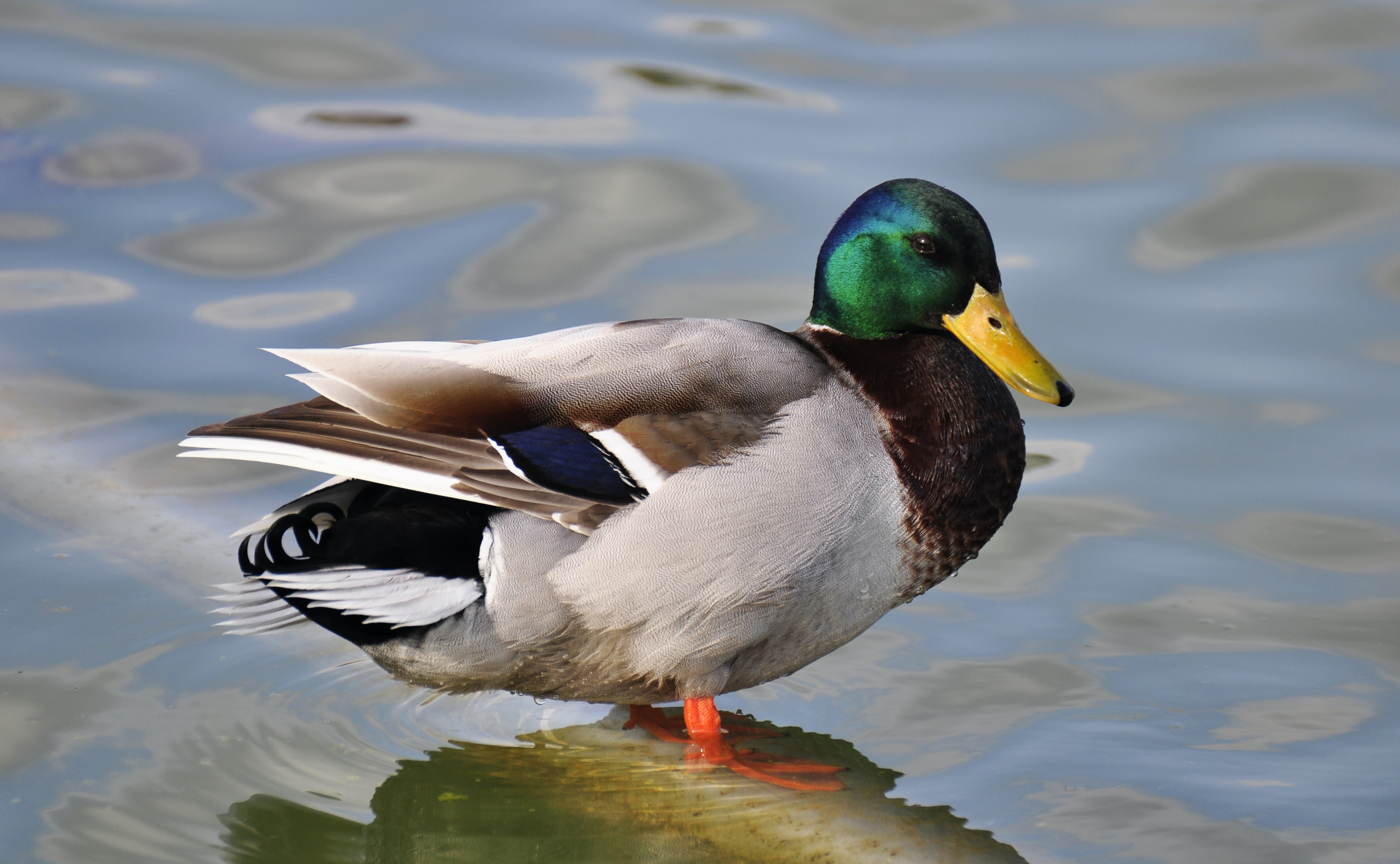 green, gray, and brown mallard duck in body of water