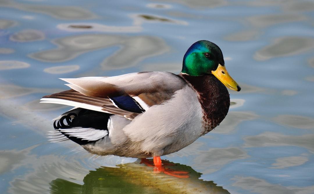 Duck standing in water