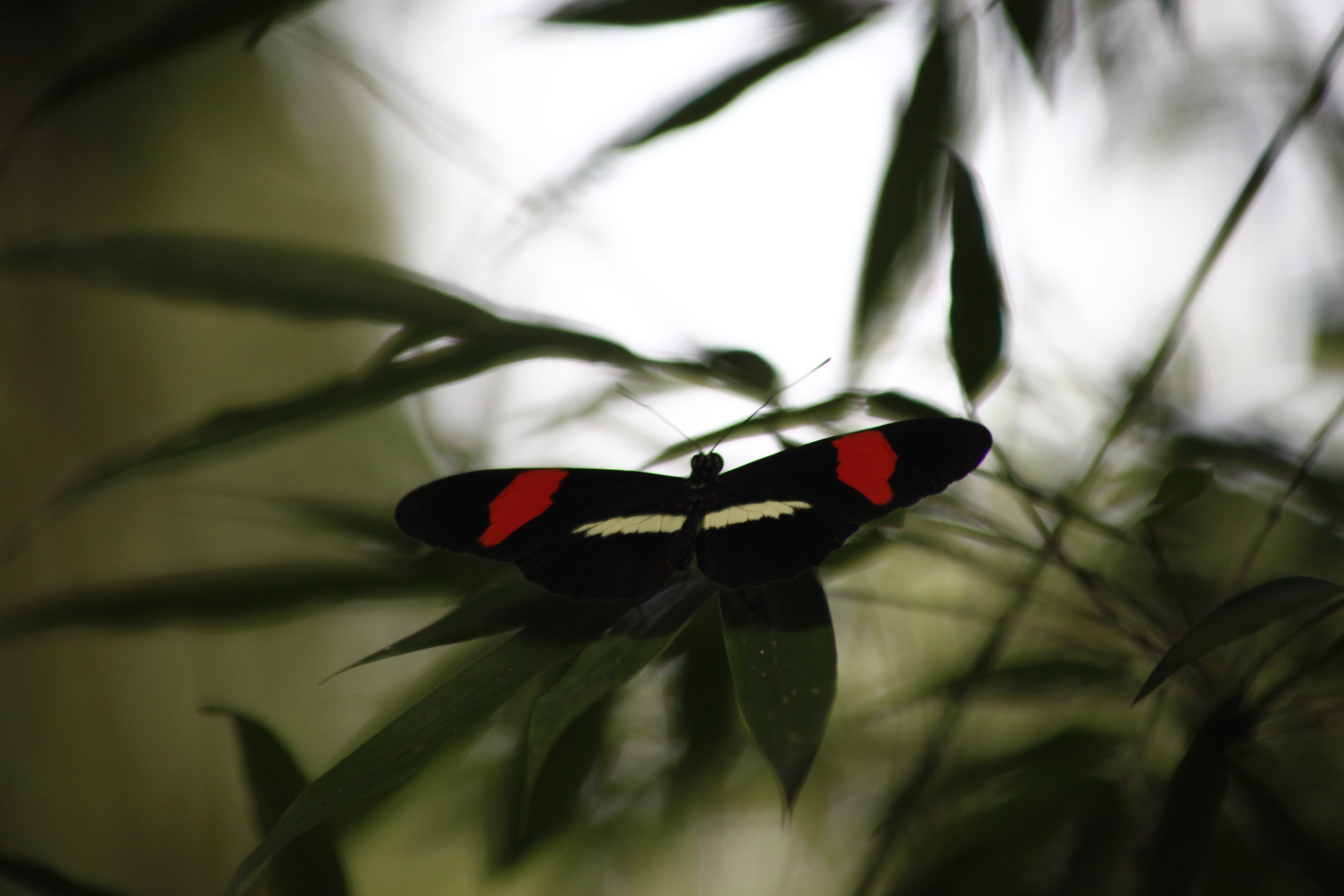 A black and red butterfly in a tree.
