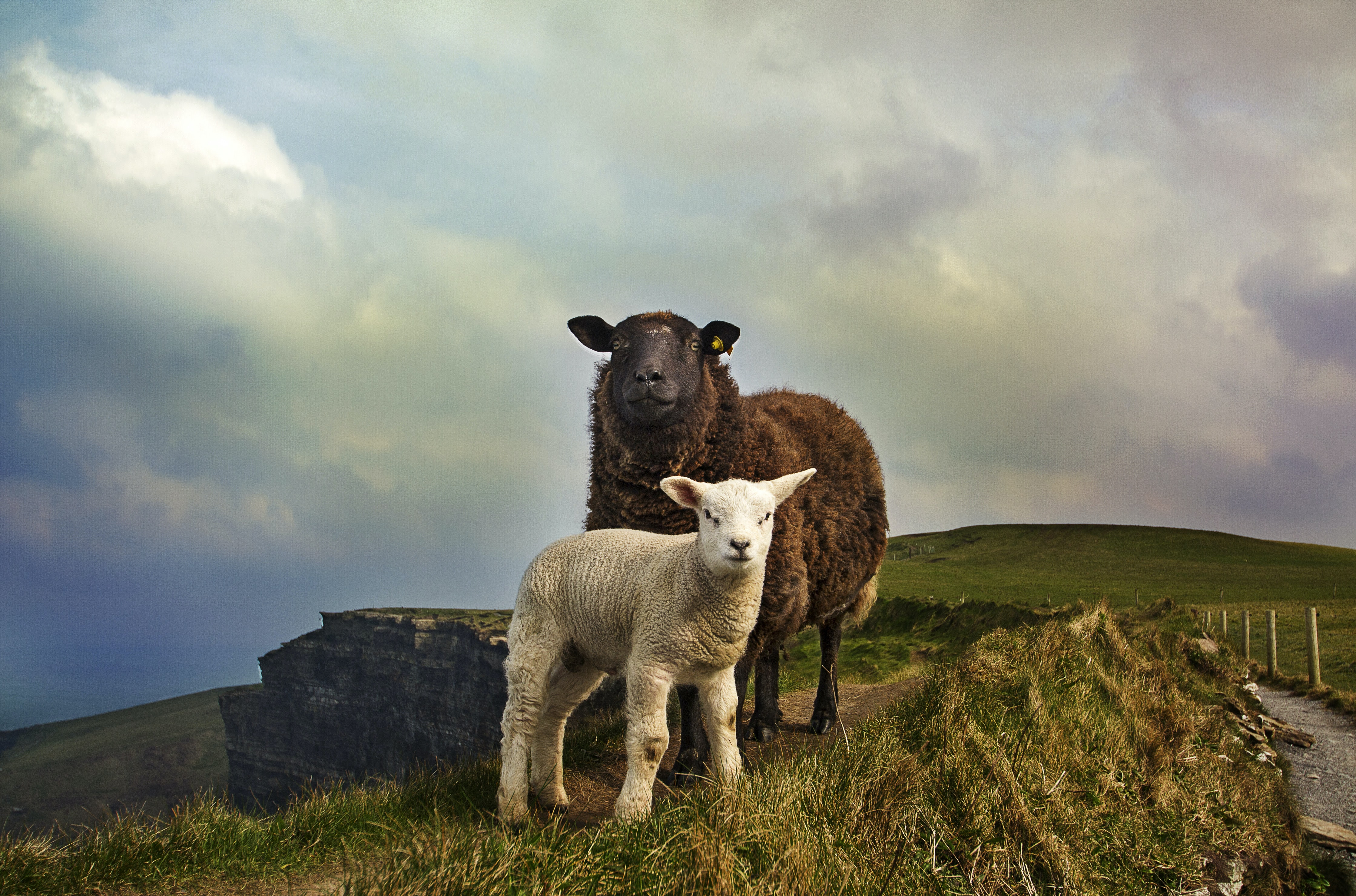Brown sheep and white lamb stand on grassy hillside