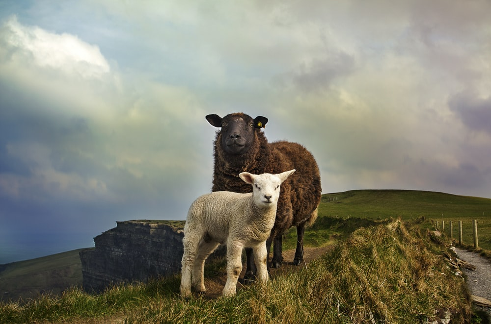 young and adult sheep standing on mountain