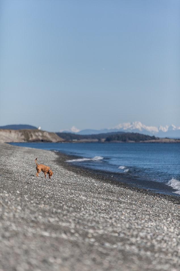 a dog on the beach of San Juan Island in Washington