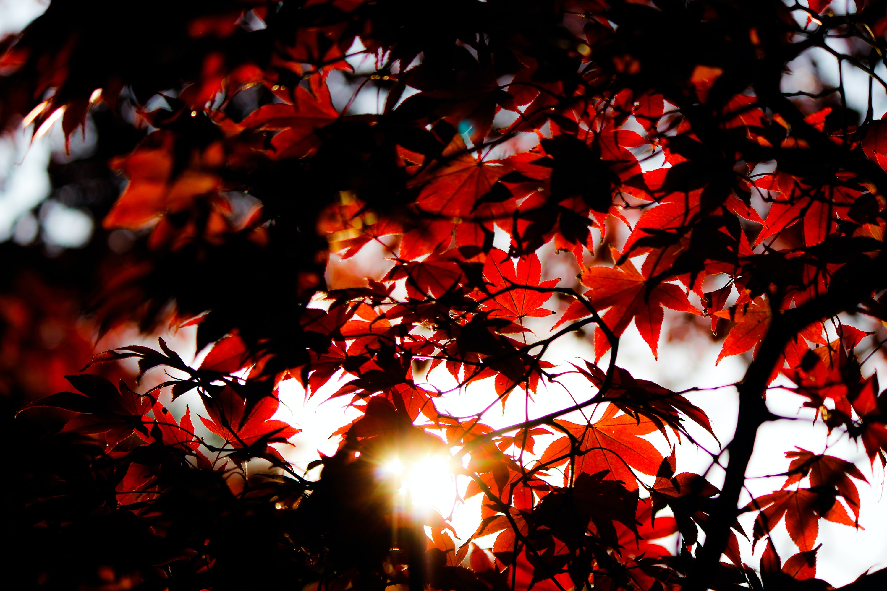Red maple leaves in the sun in Kamakura