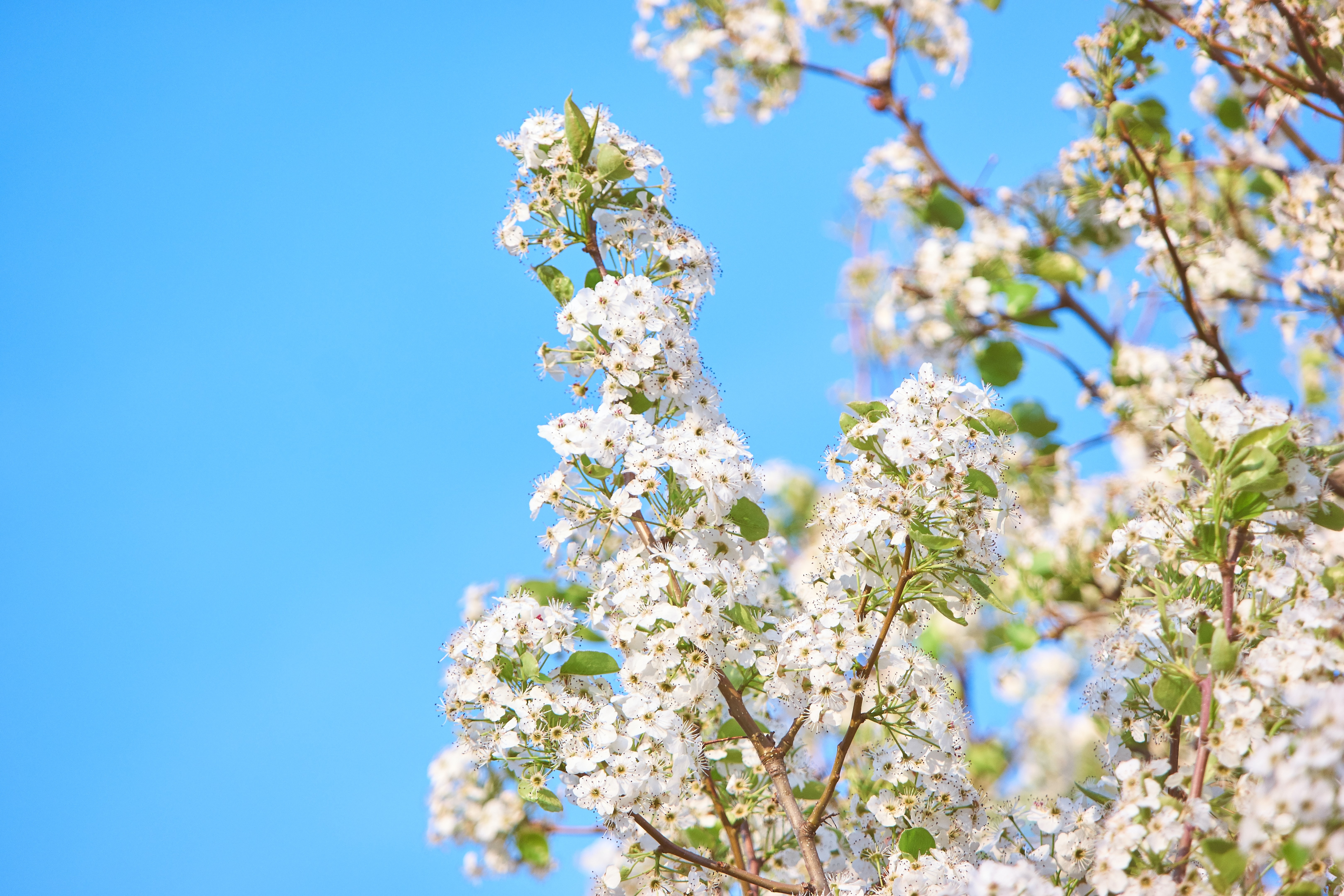 Leafy branches with thick cherry blossom and clear blue sky background in Spring