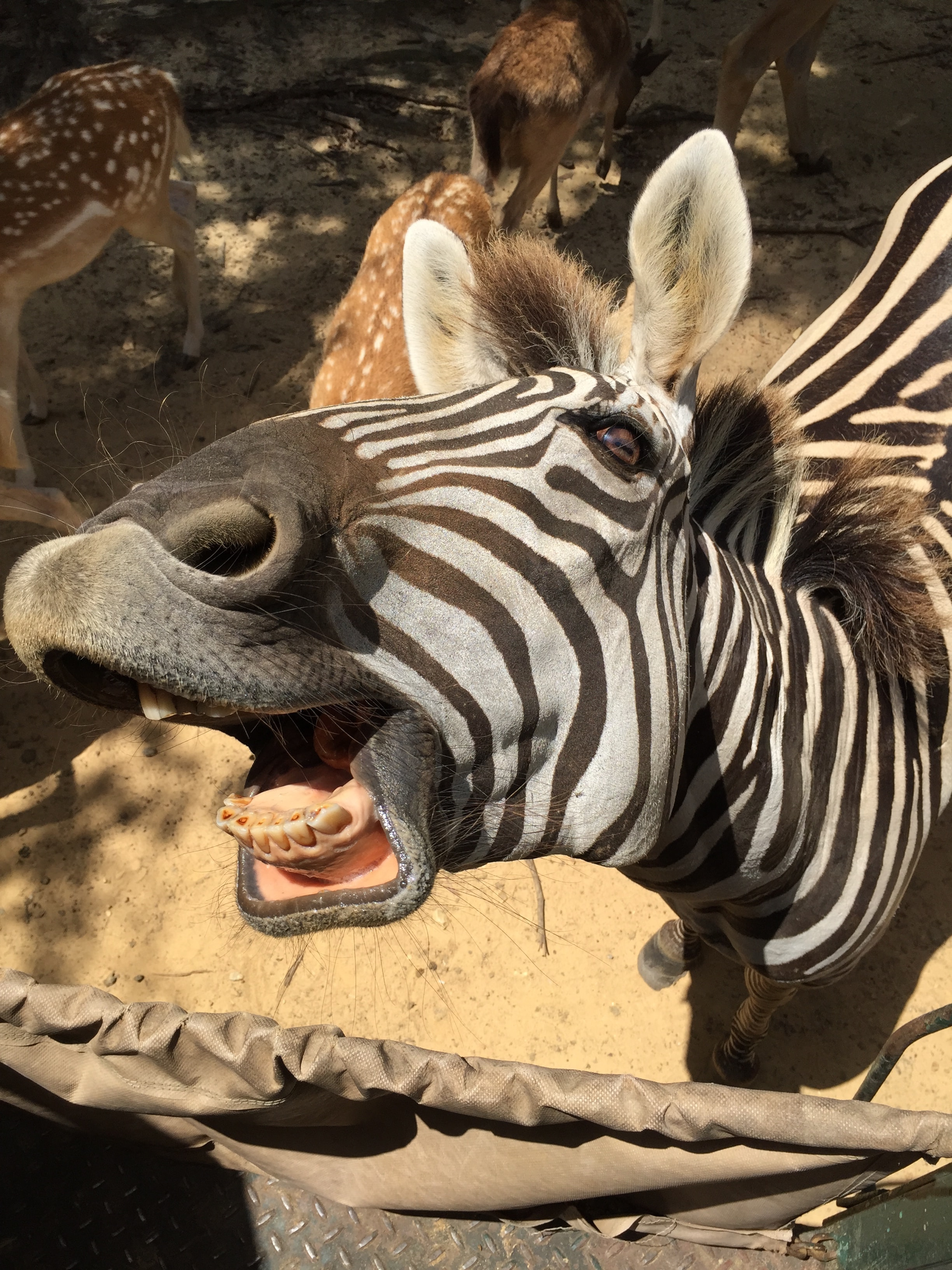 A zebra opening his mouth to yawn.