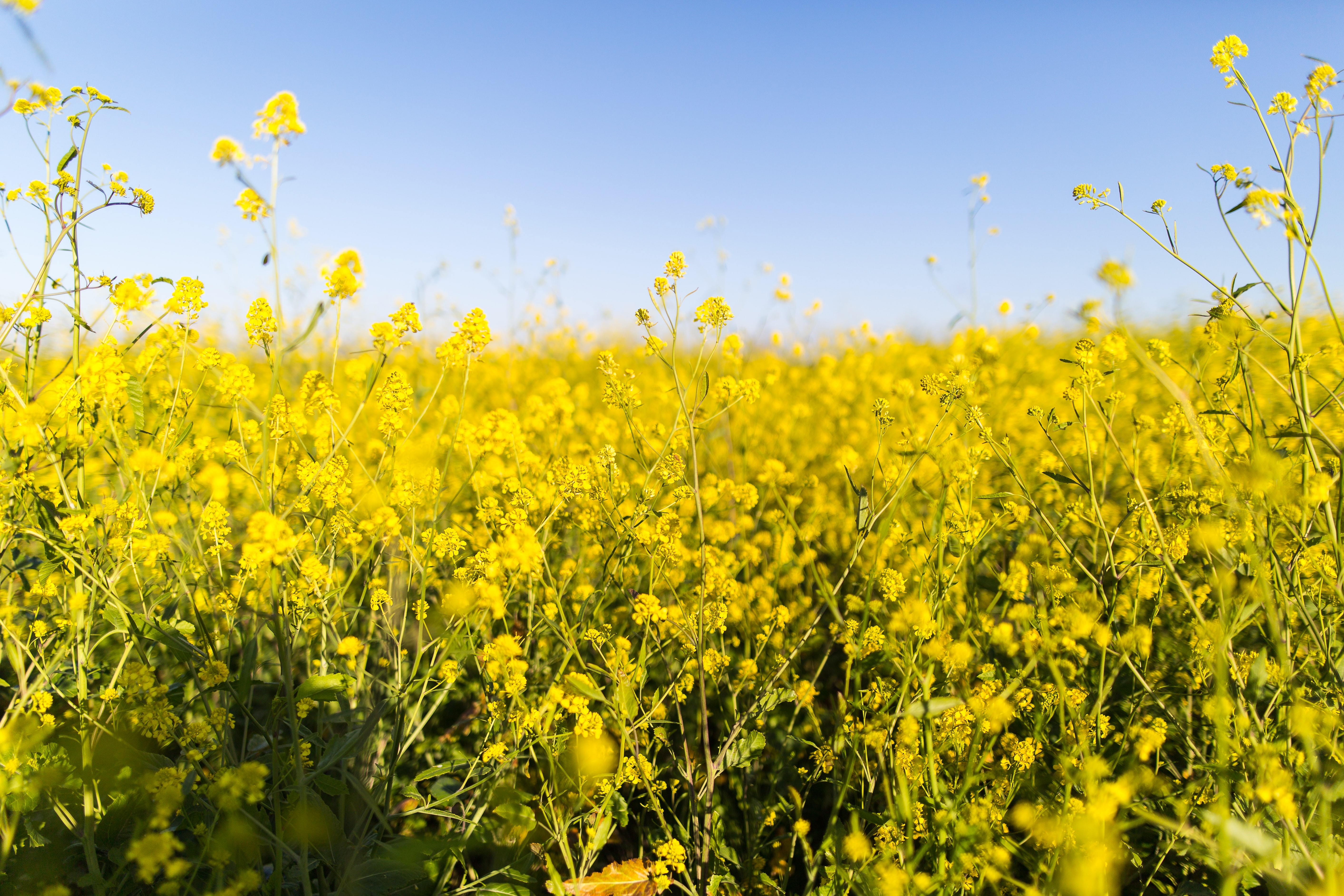 Thick yellow rapeseed wildflowers in meadow with blue sky in Spring in Ars-en-Ré