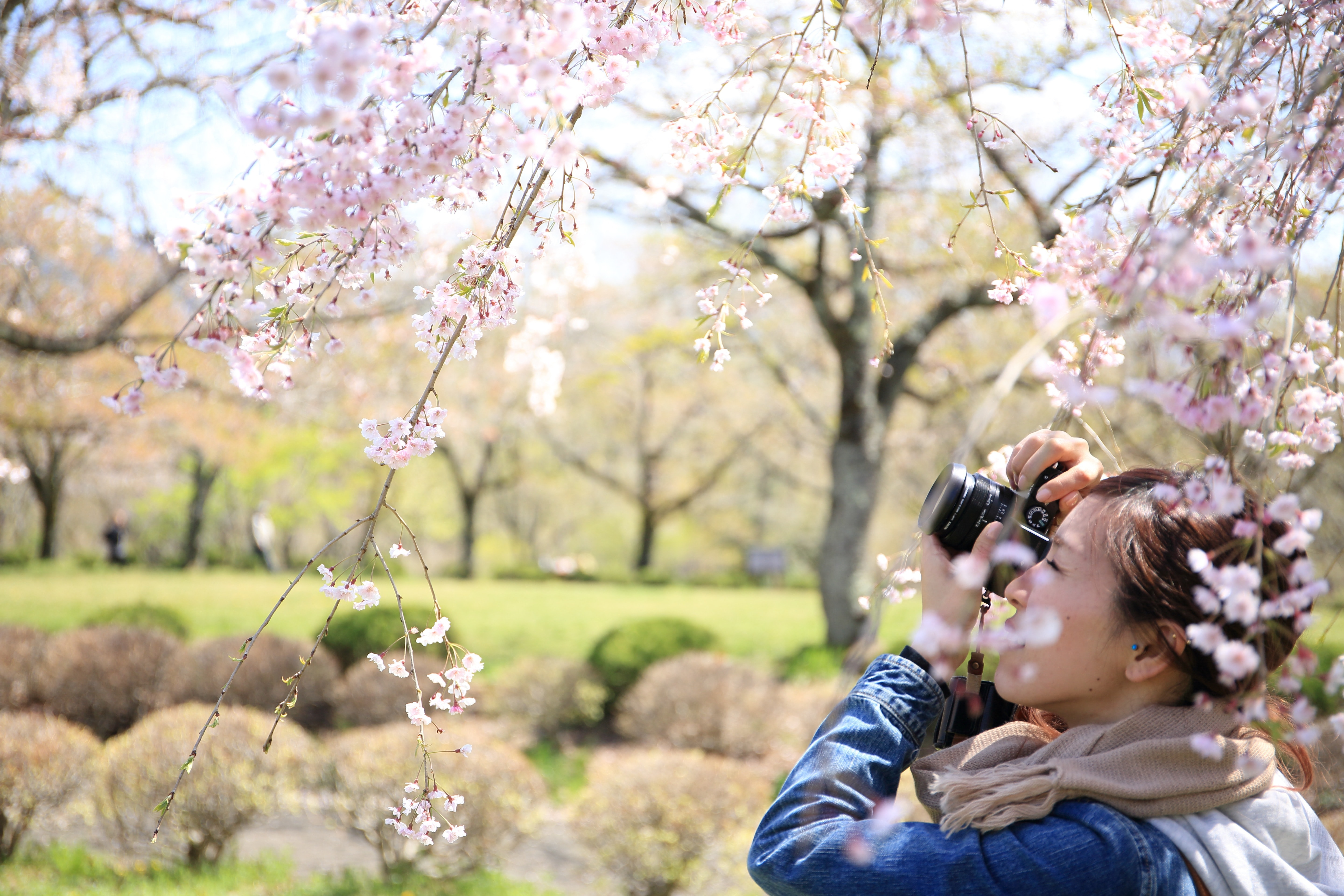 Photographer focuses her camera on cherry tree blossoms