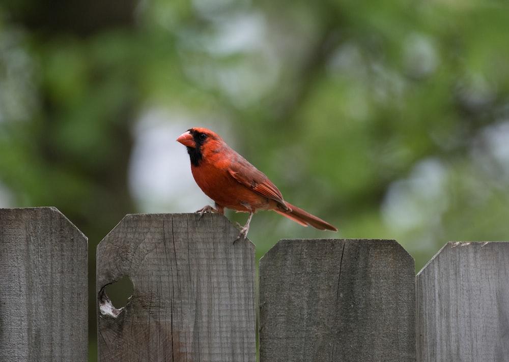 orange bird on gray wooden fenc