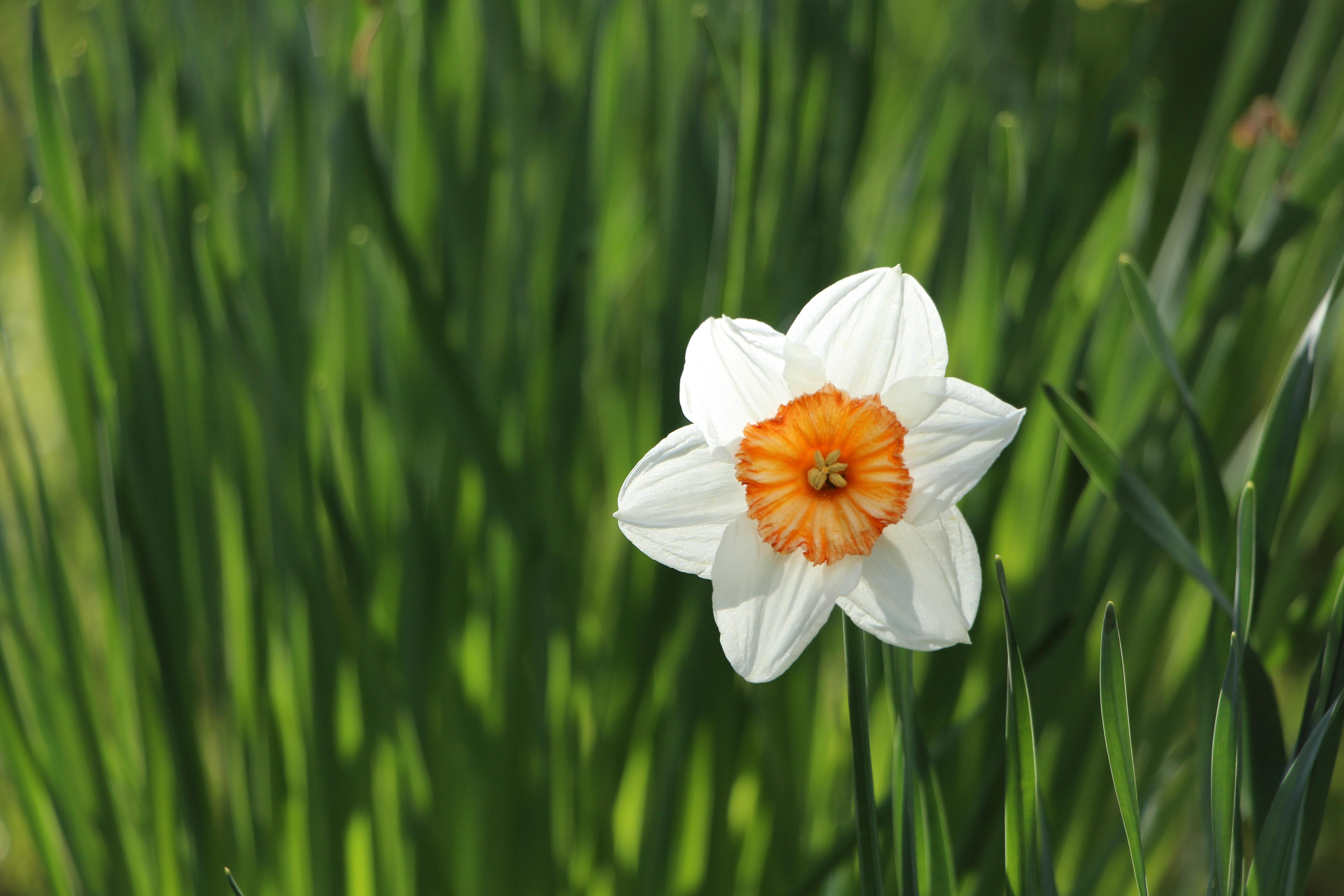Single white daffodil in green grass in Spring, Dublin