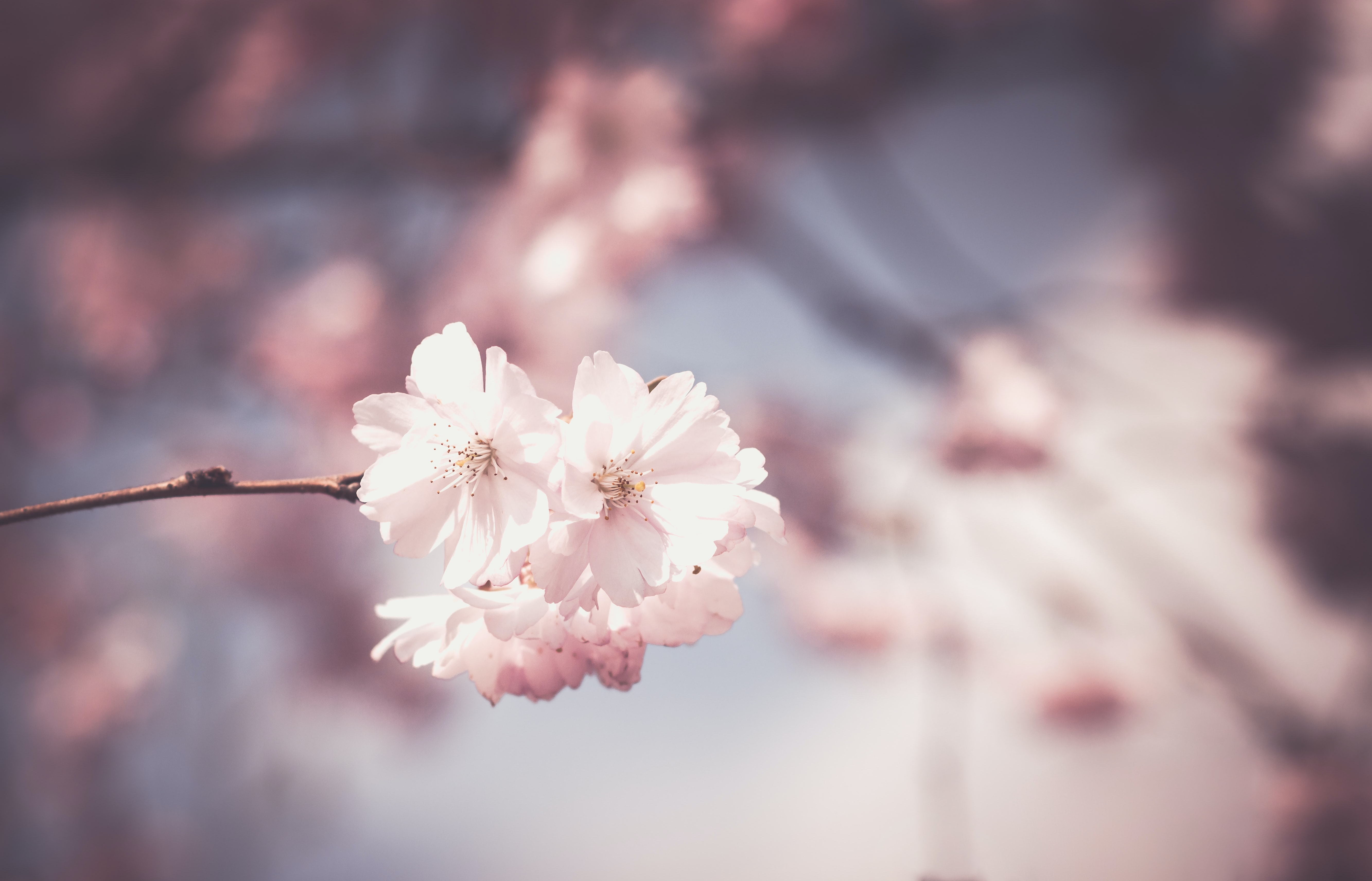 selective focus photography of pink cherry blossom flower