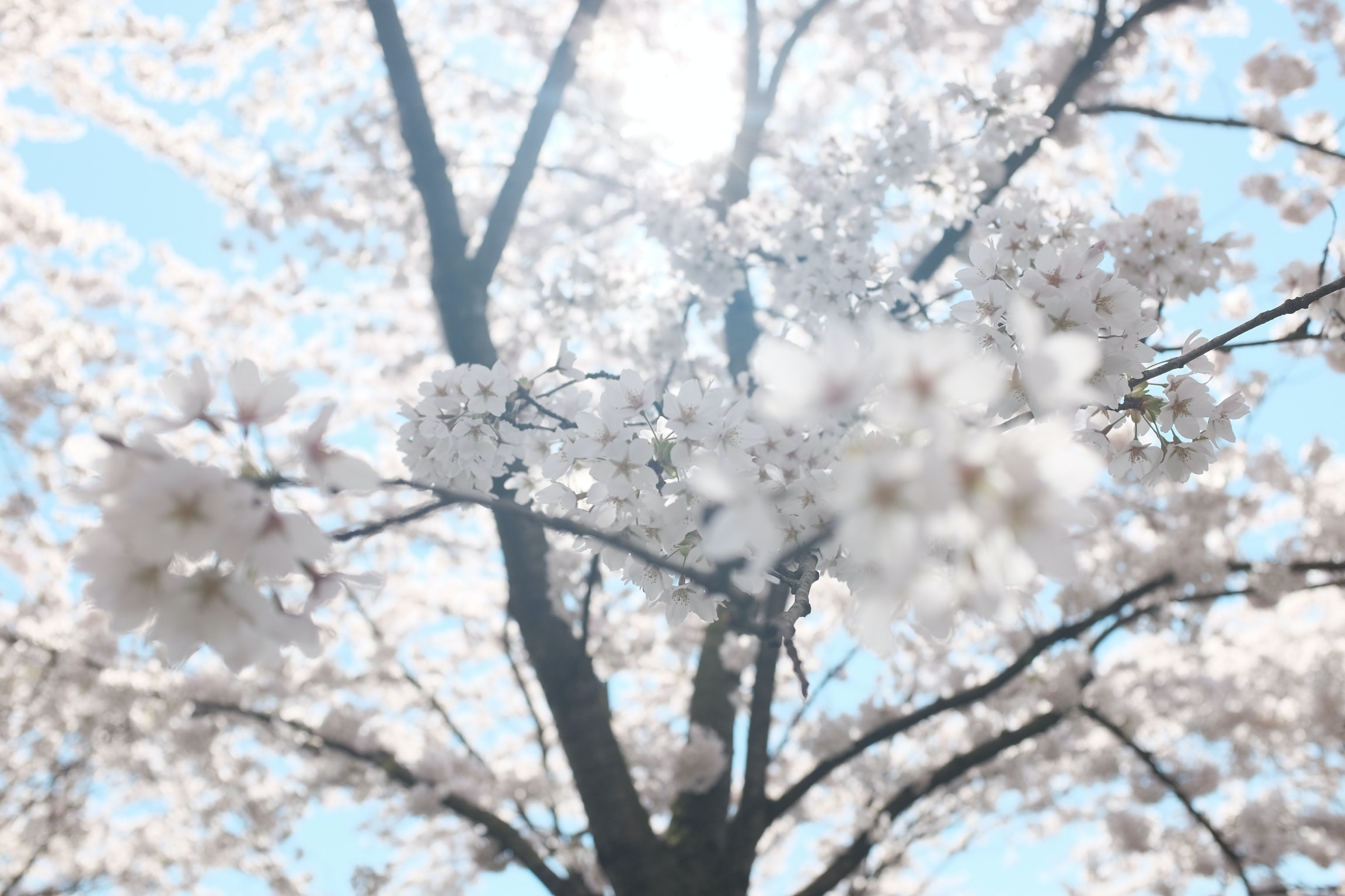 white cherry blossom tree under clear blue sky