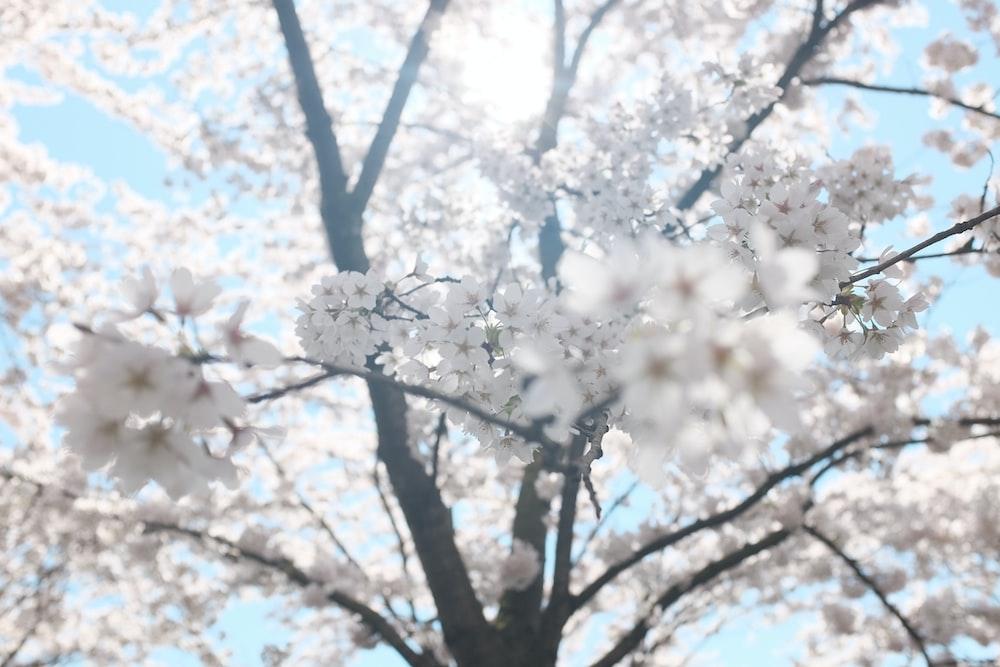 white cherry blossom tree under clear blue sky