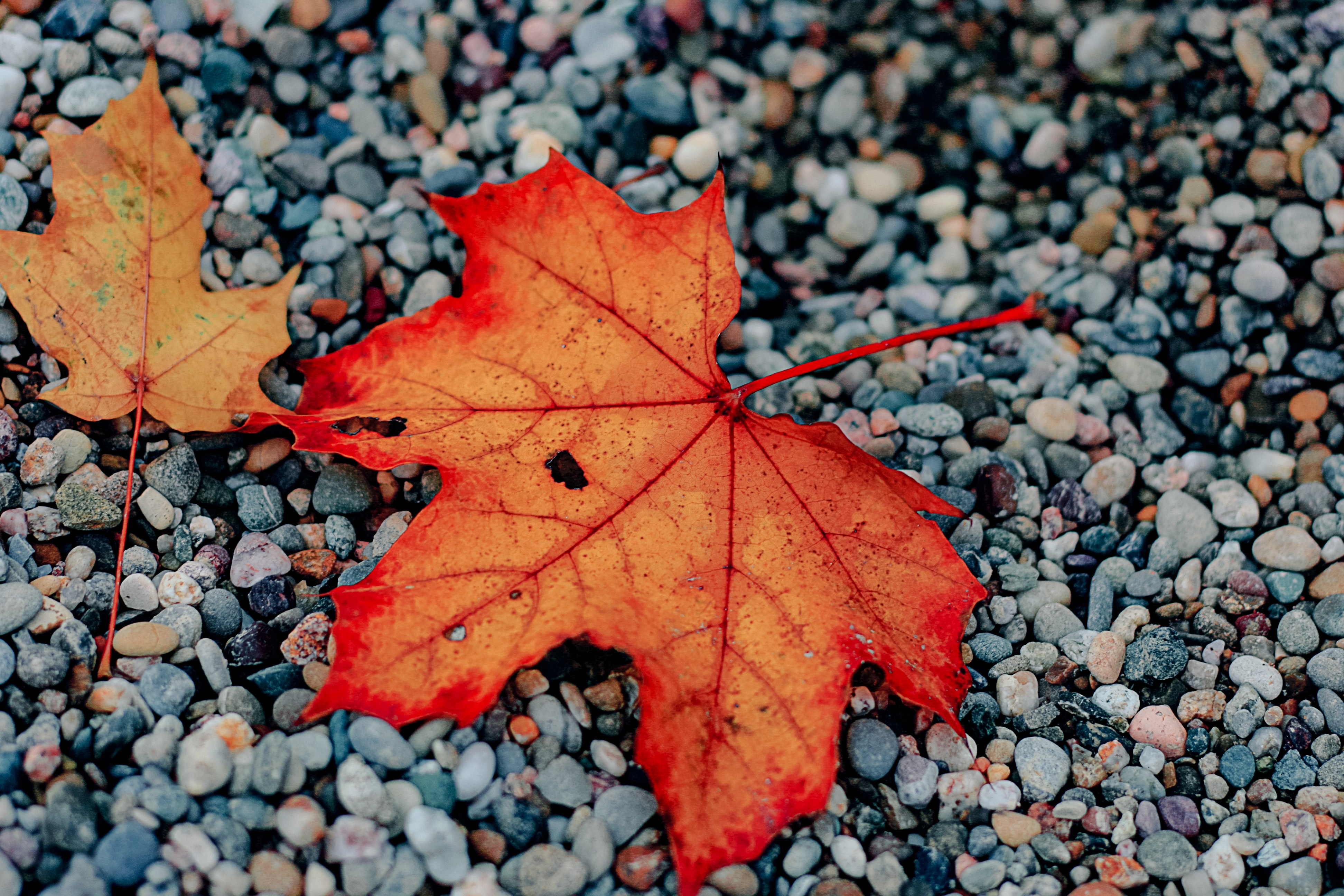 two red and brown maple leaves on gray stones