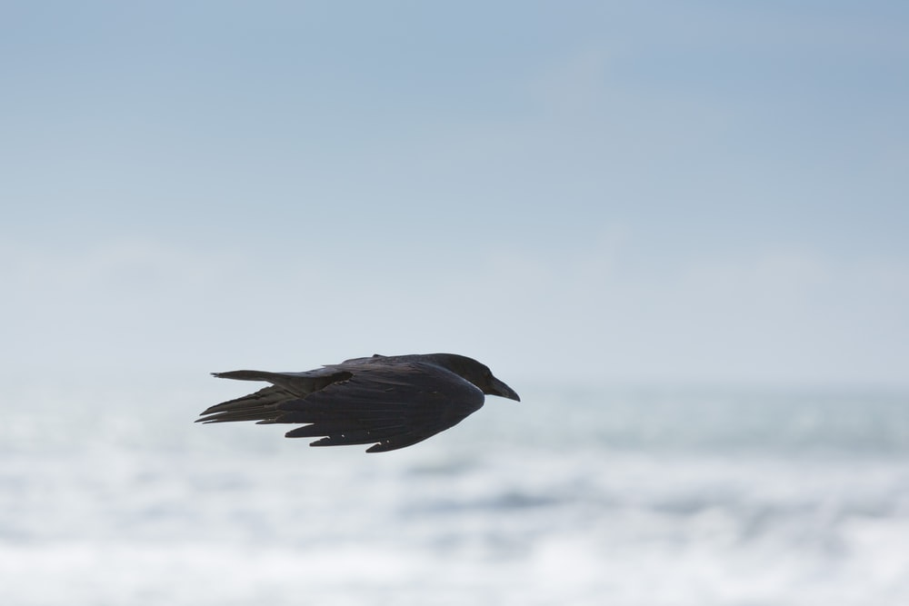 selective focus photography of black bird flying in mid air
