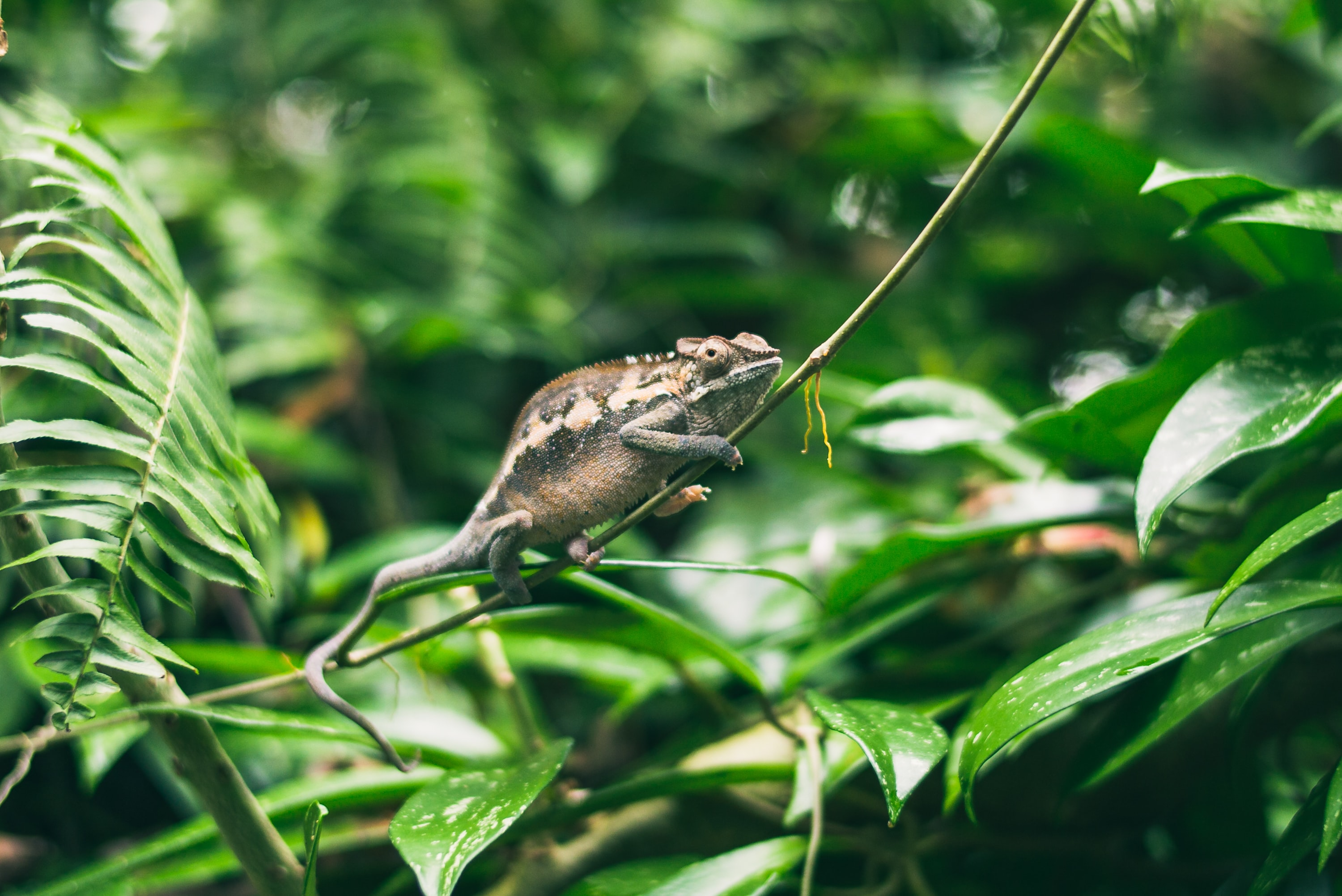 A brown chameleon climbing up a green branch among fern leaves