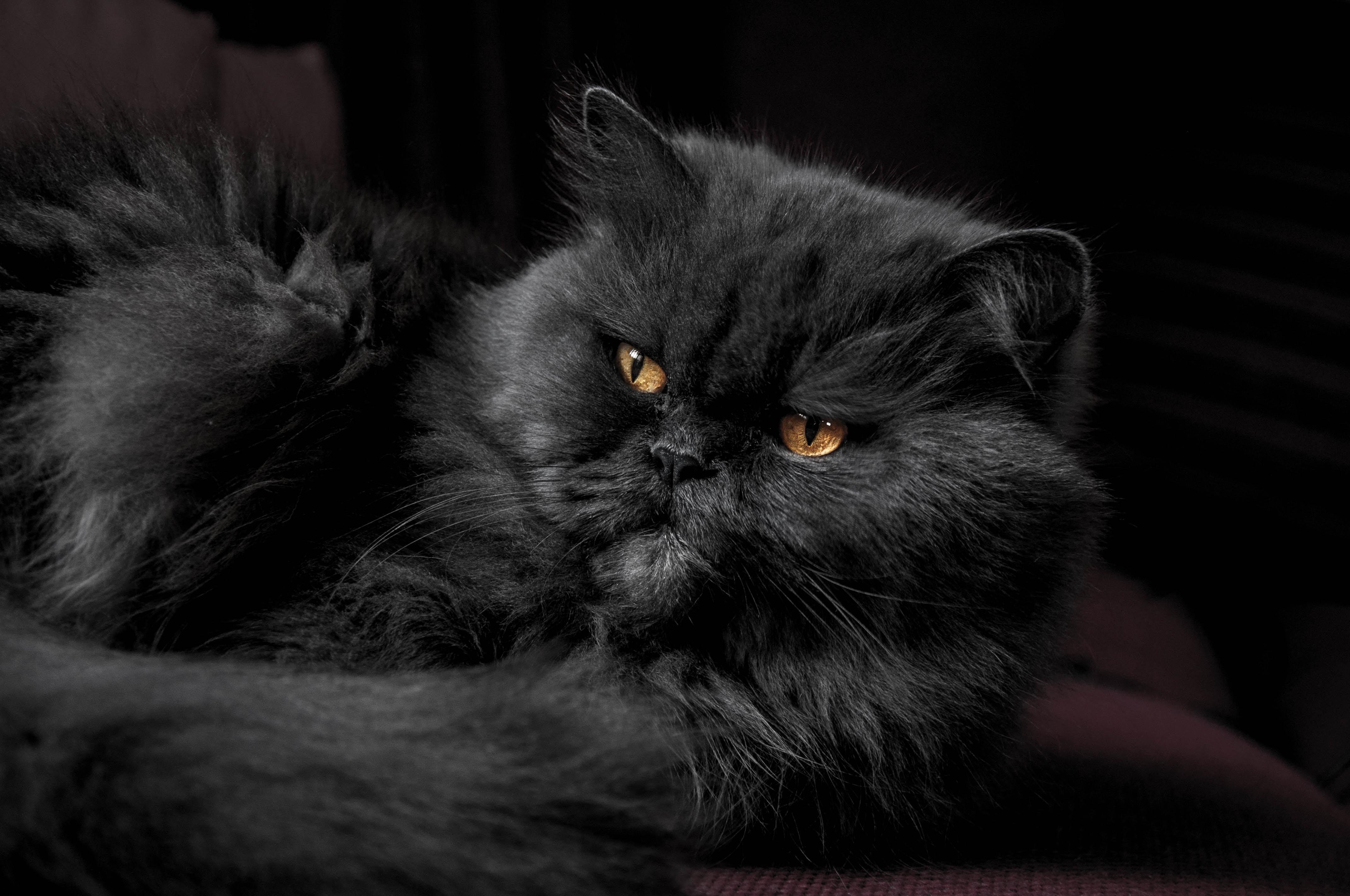 Close-up of a black Persian cat