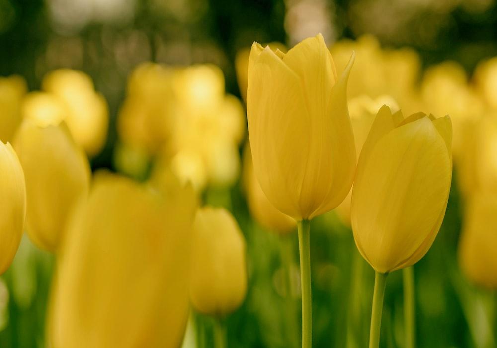 tilt shift lens photography of yellow tulips
