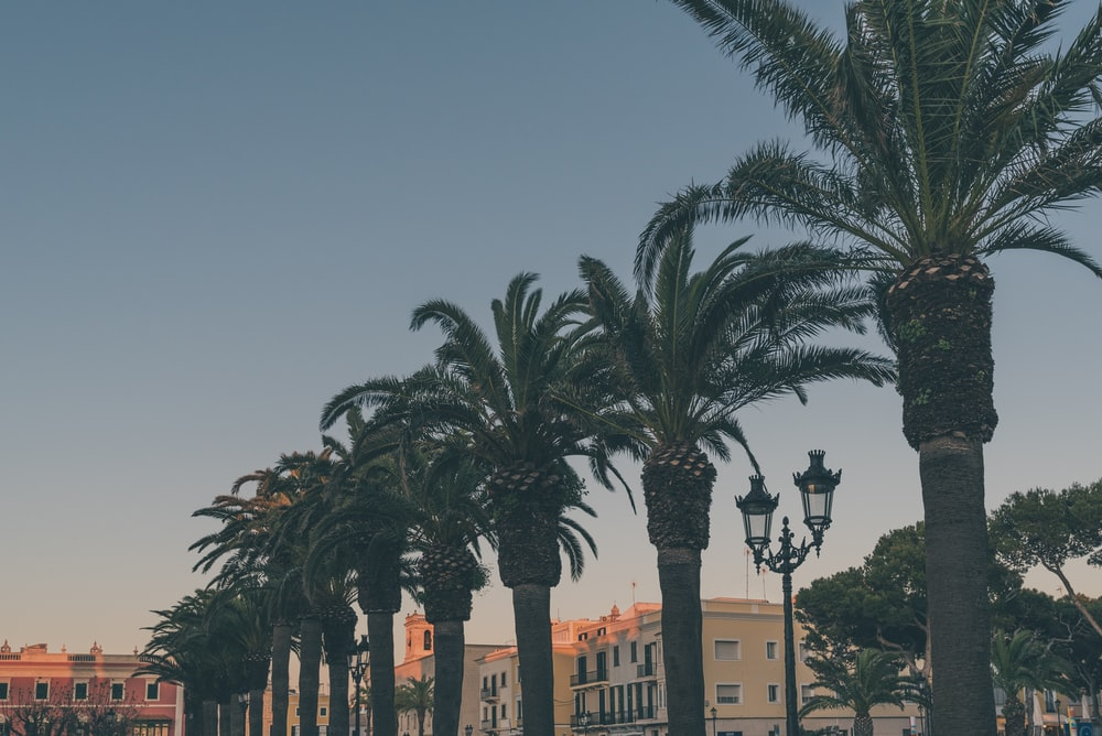 lined palm trees