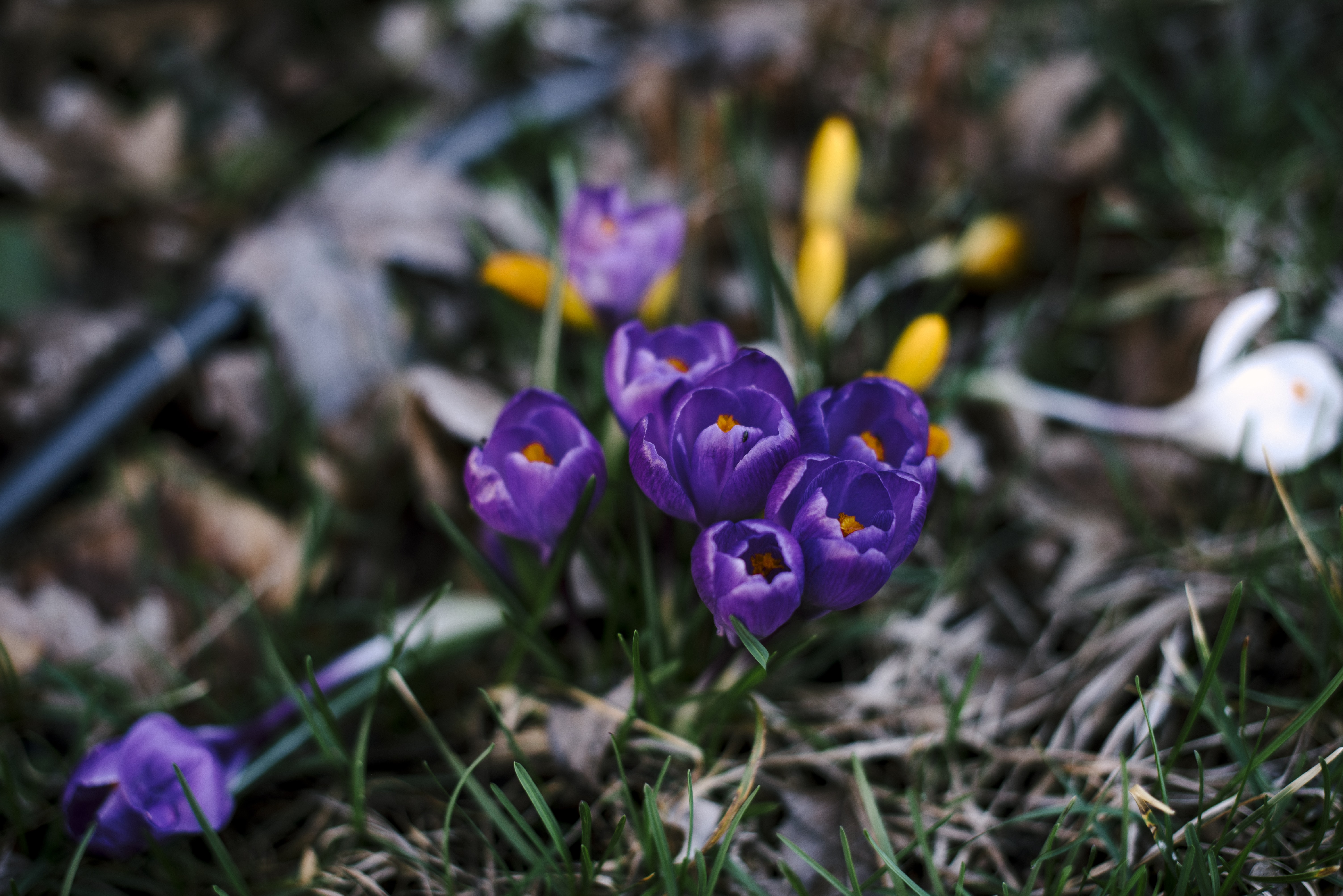 Small group of purple crocus flowers blooming in Spring with grass