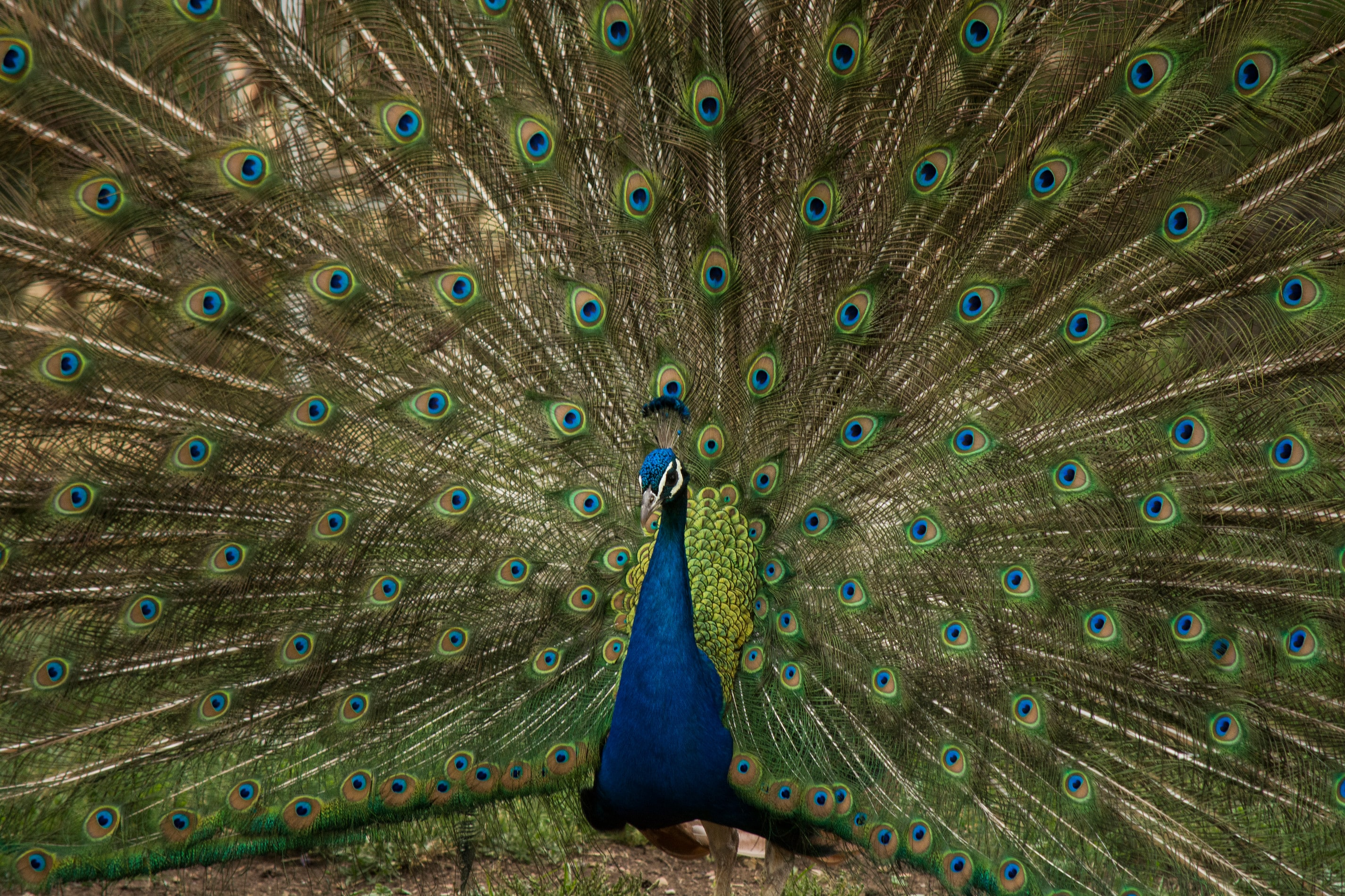 Colorful peacock displays its plumage for a mate