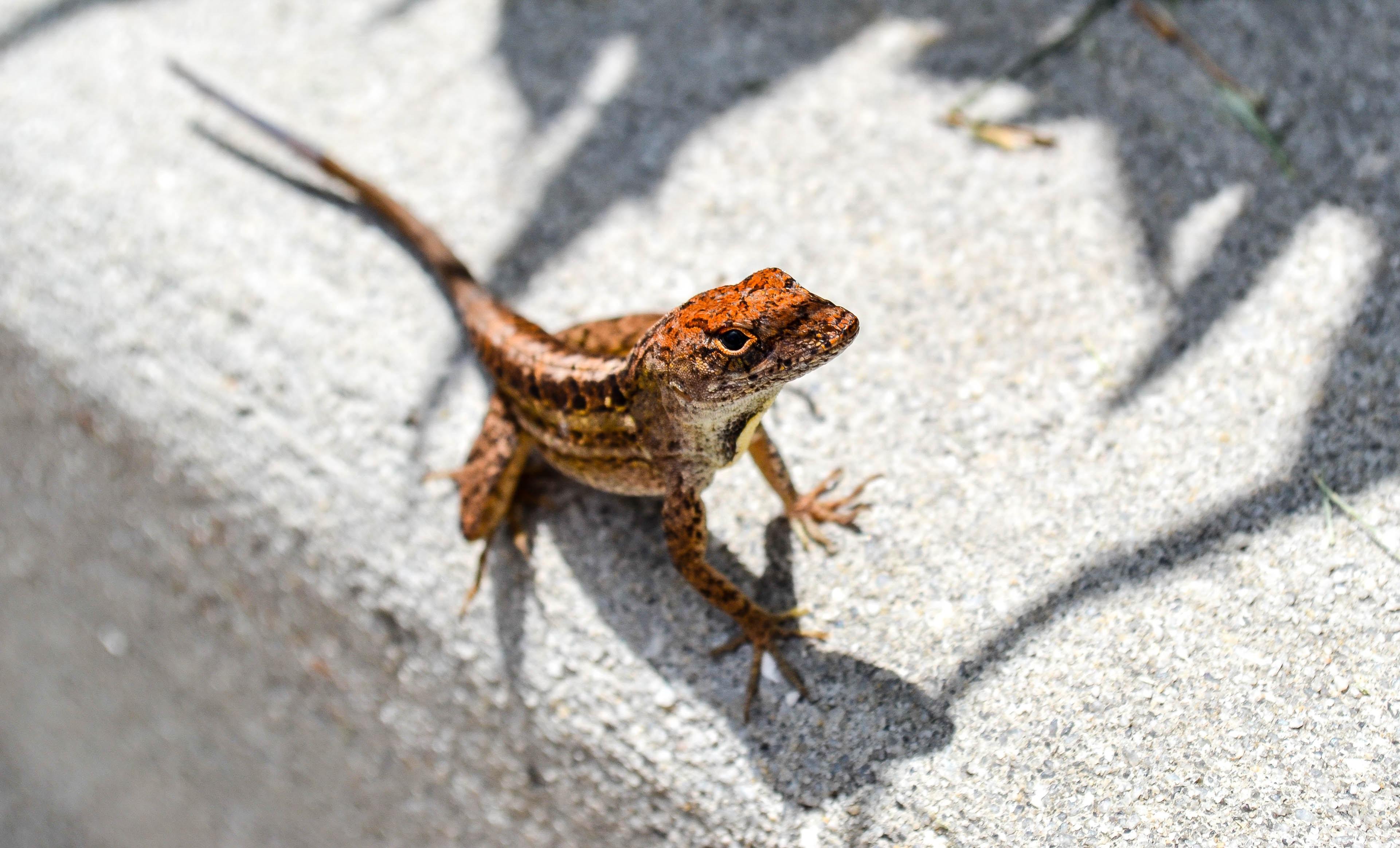 Portrait of a lizard alone on concrete