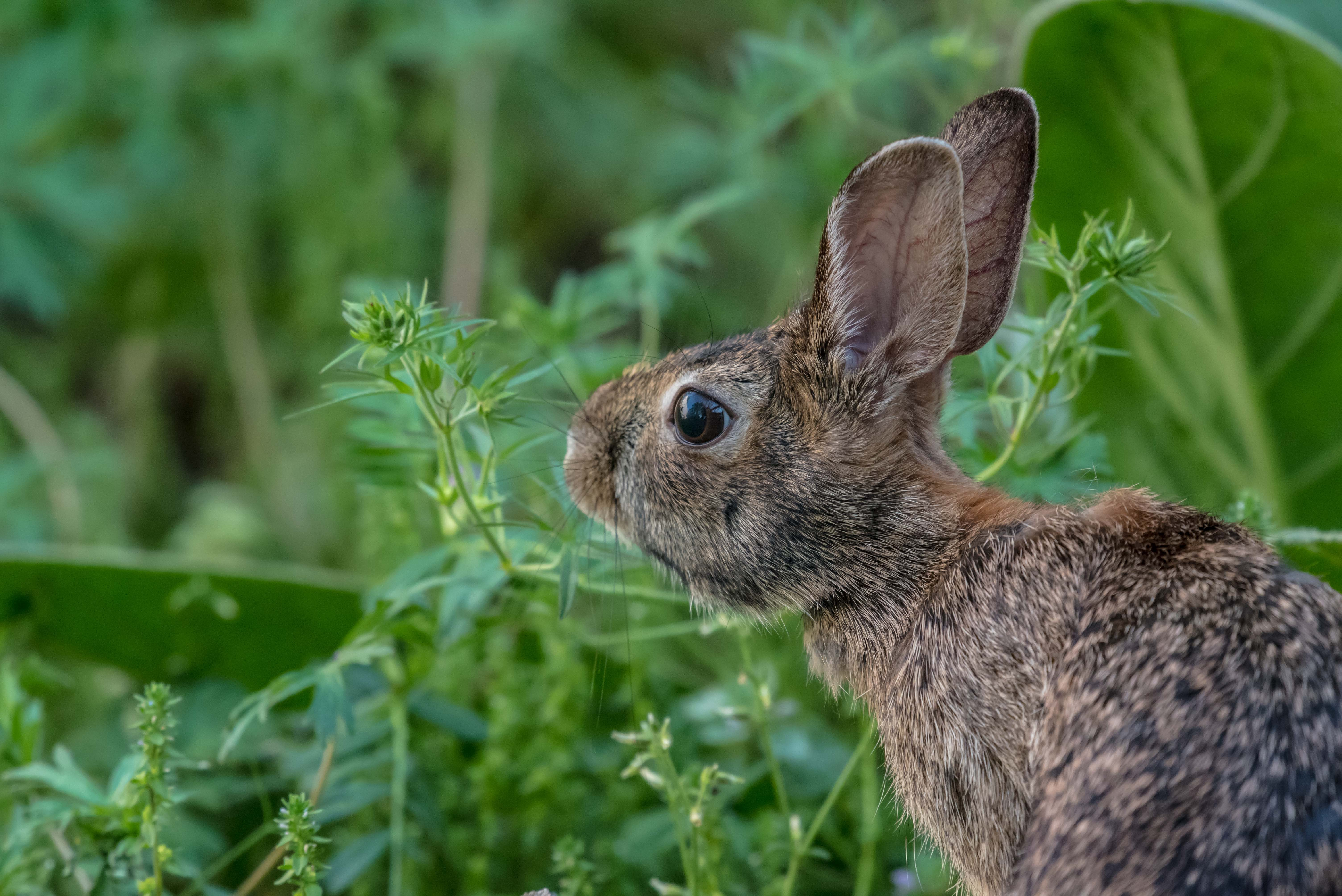 A profile of a brown rabbit with beady eyes against green foliage
