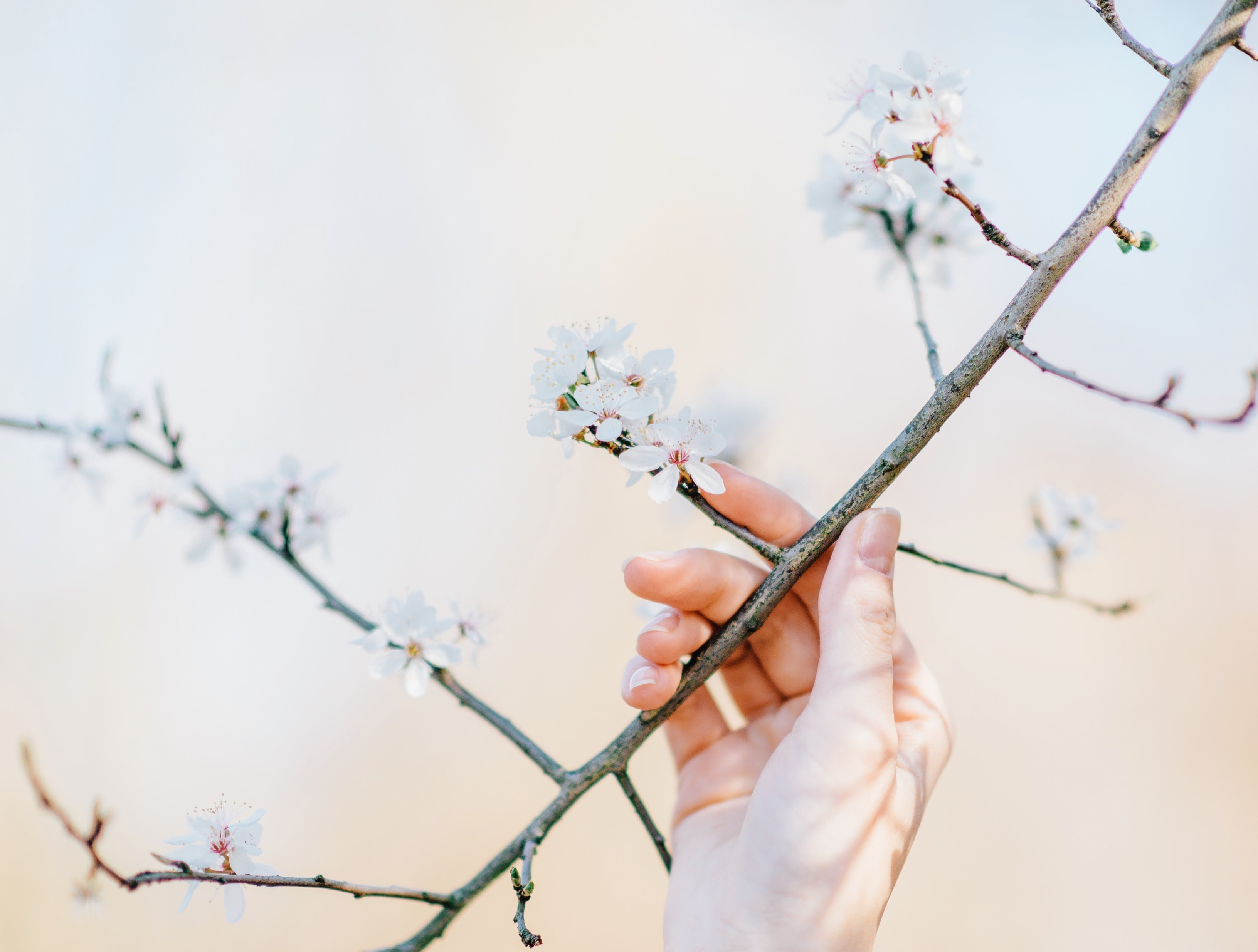 Almond twig with blossom, flower and person's hand in Spring, Volkspark Prenzlauer Berg