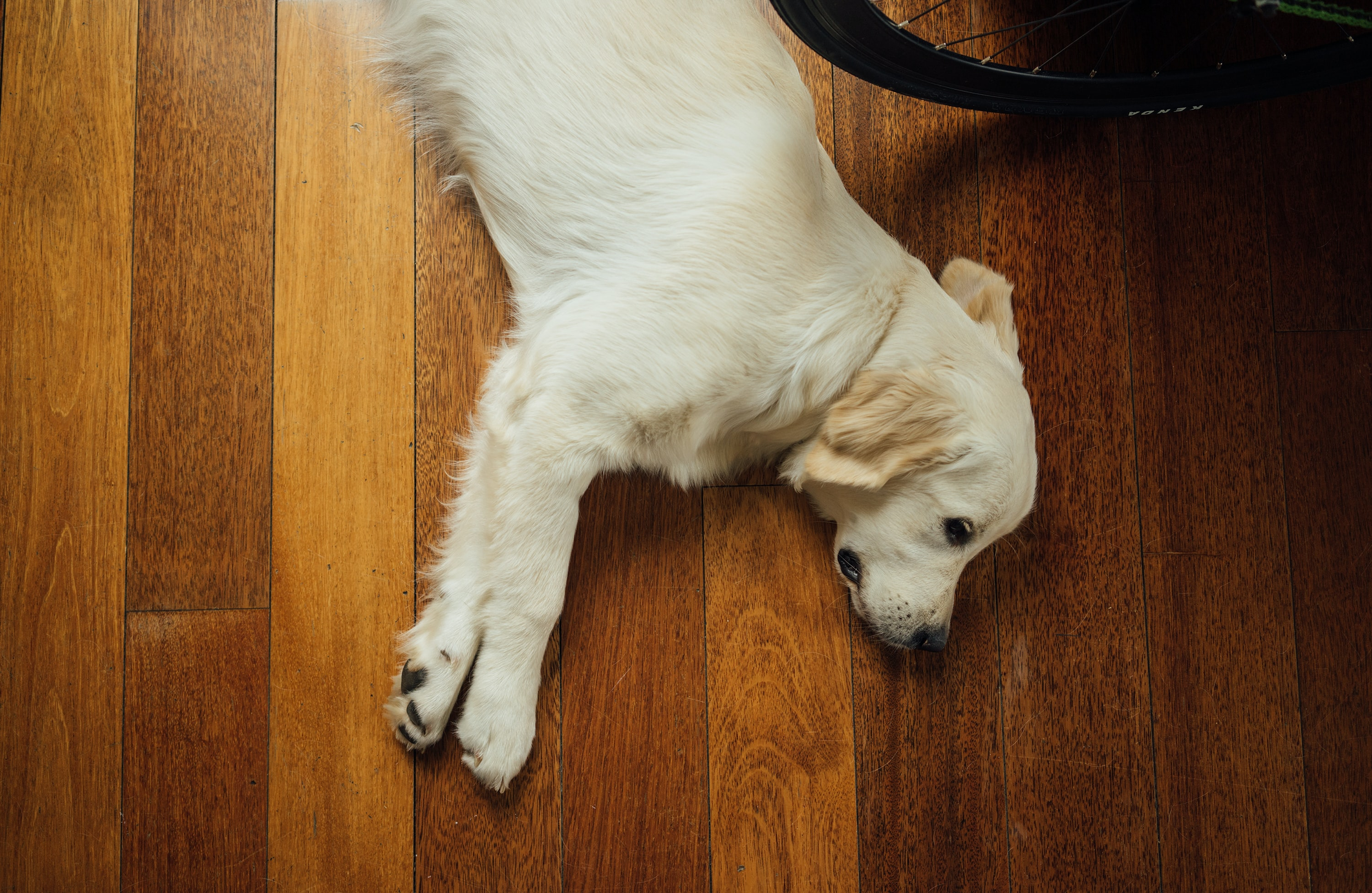 beige dog lying on brown wooden parquet floor