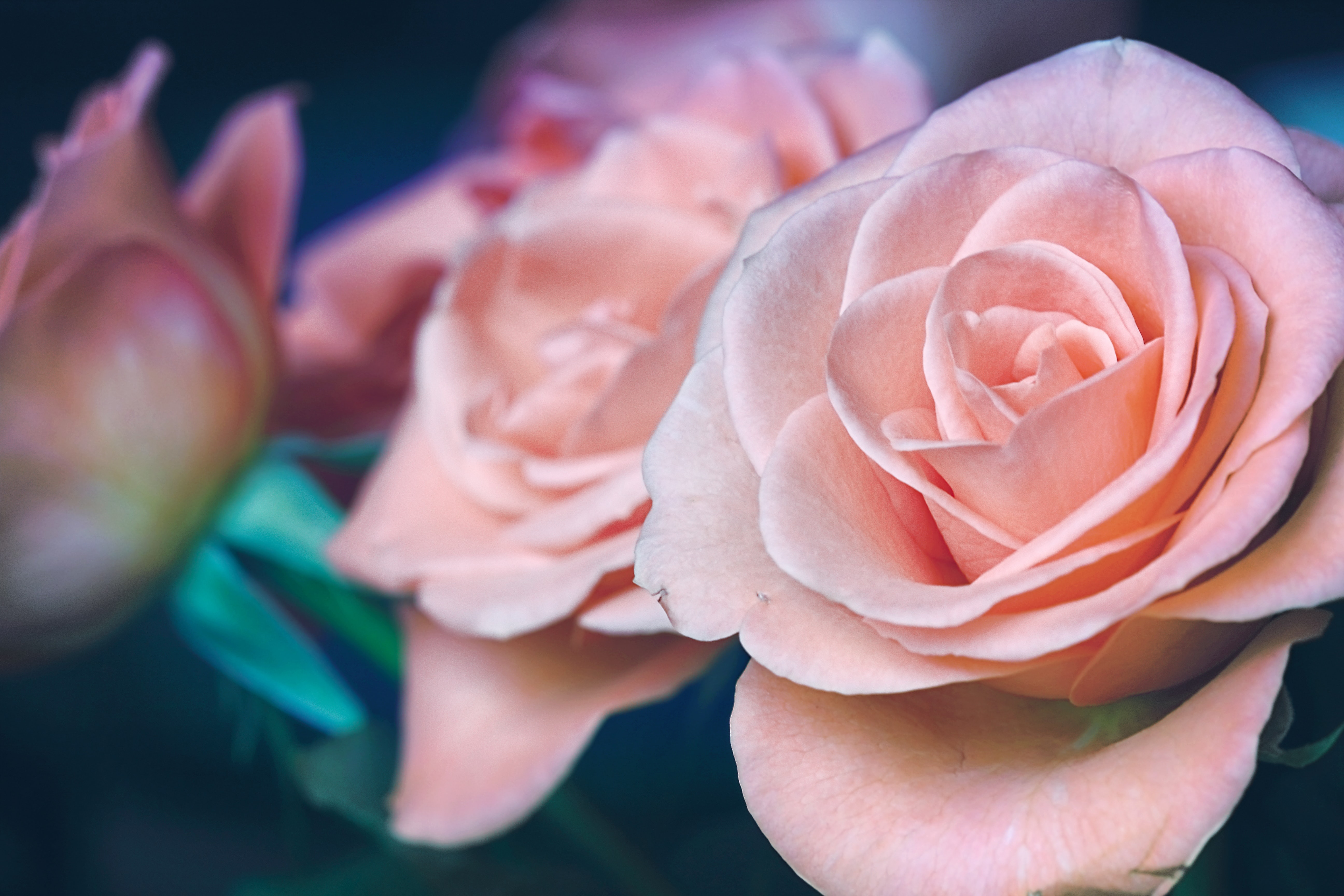 A close-up of pastel pink rose flowers