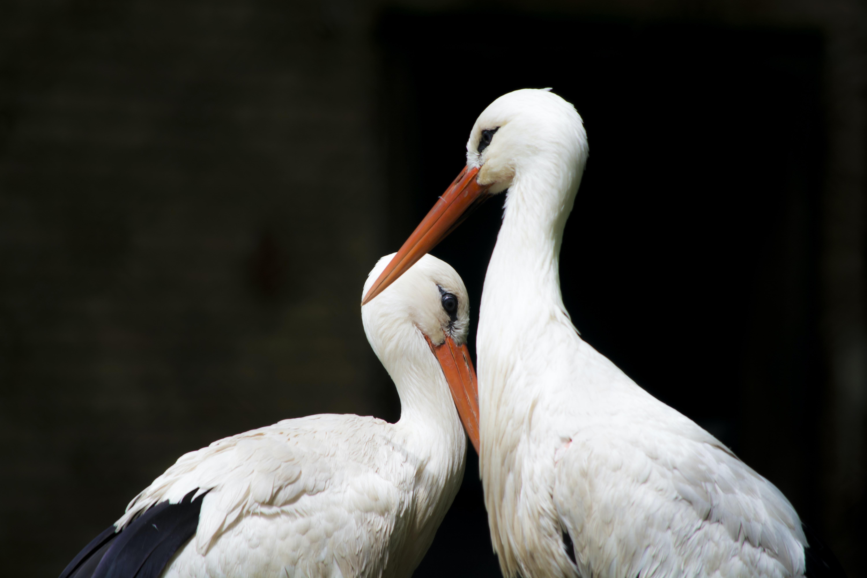 two white storks