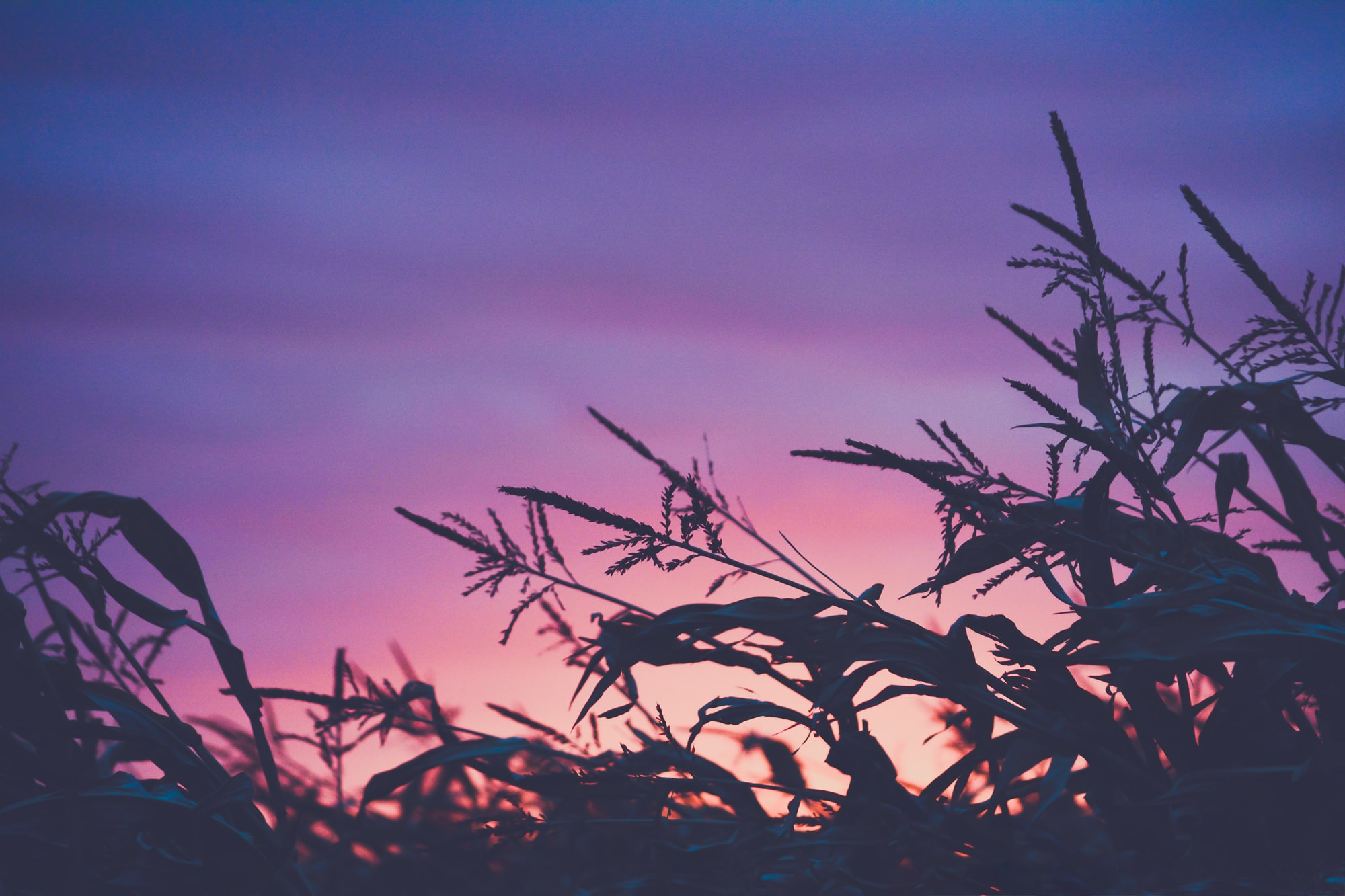 A pink and purple sunset creates silhouettes of crops in a corn field