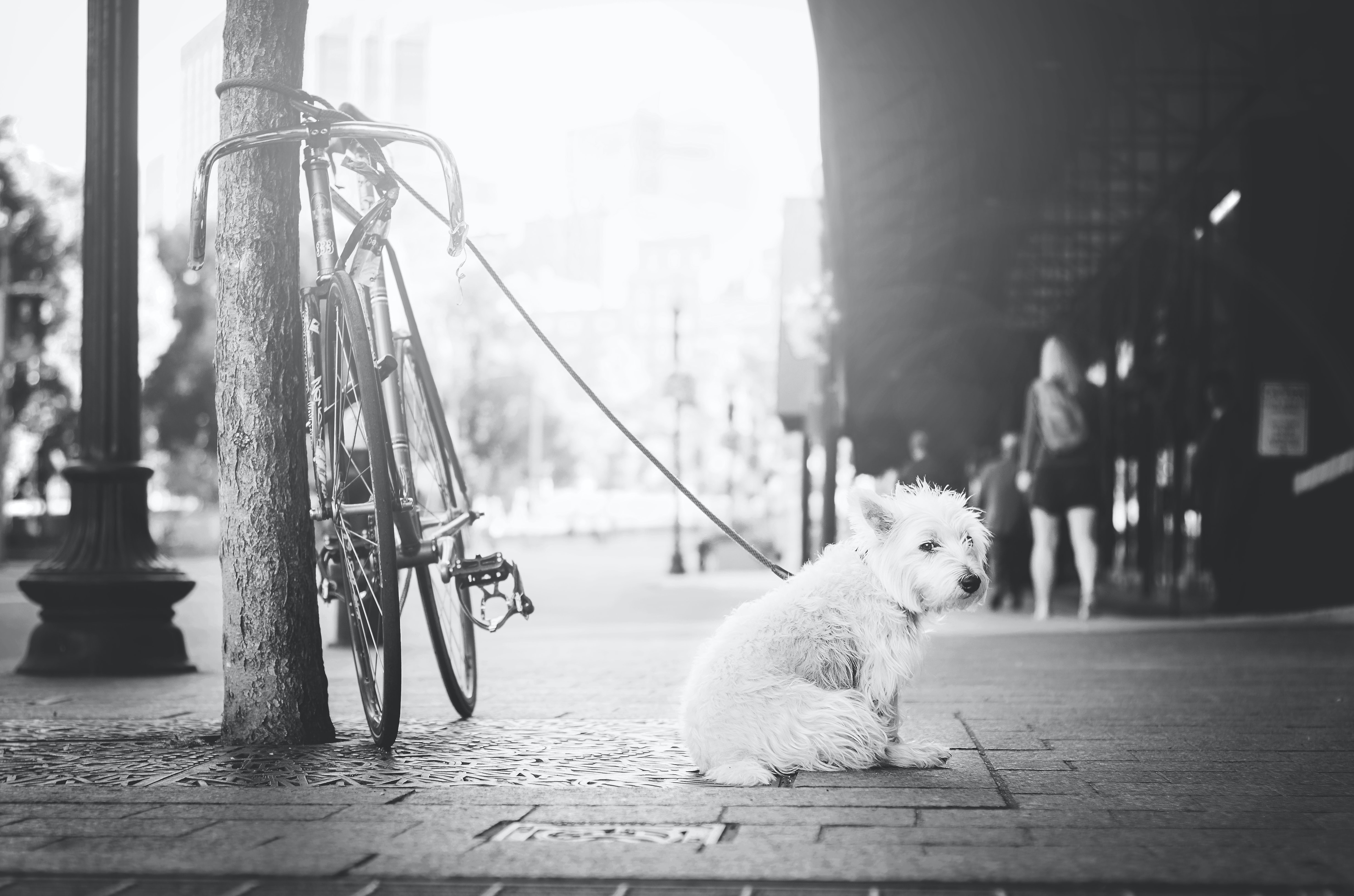 Black and white shot of dog outside on leash waiting for owner near bike, Boston Common