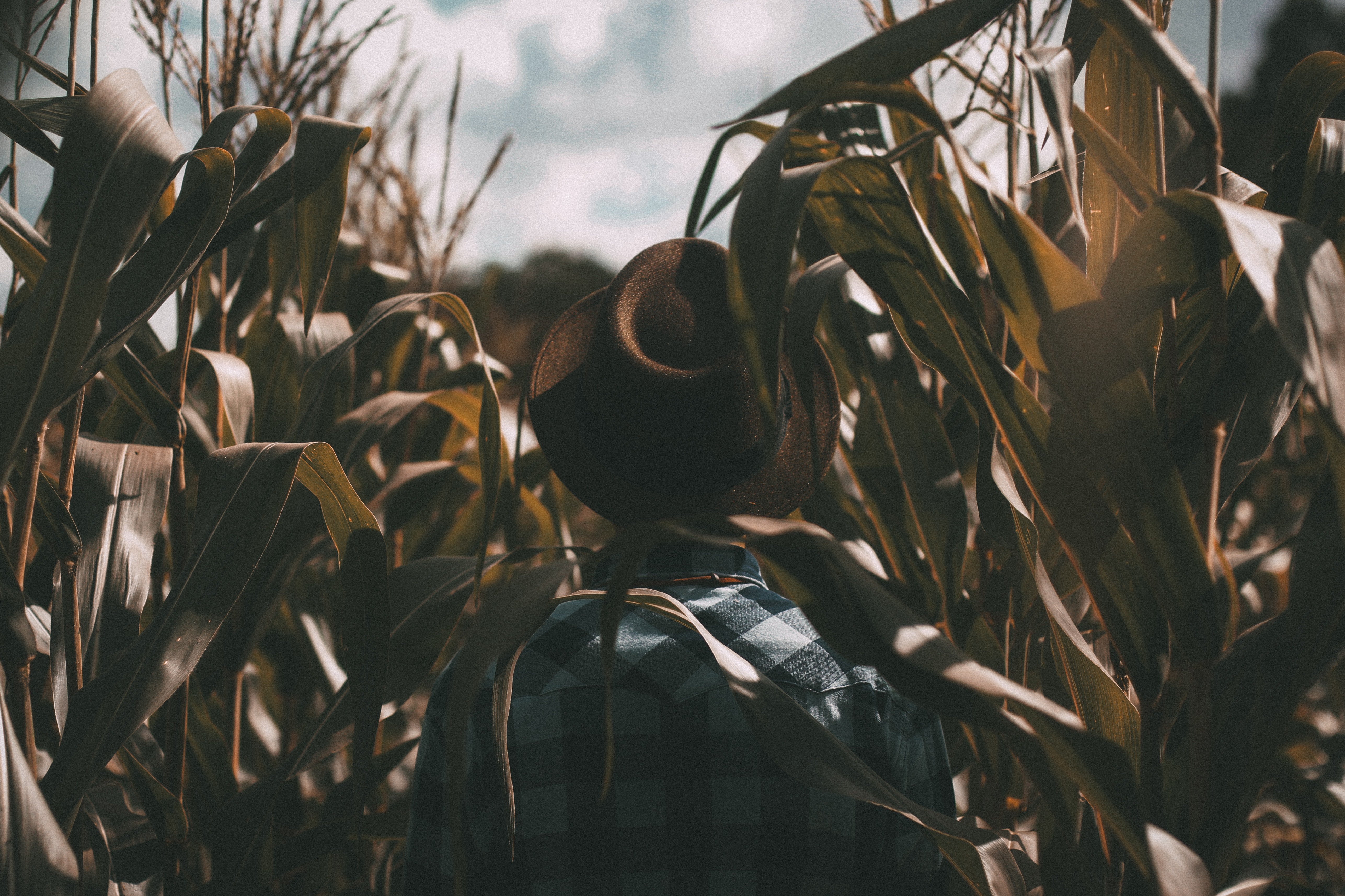 A person wearing a brown hat and plaid shirt standing in the middle of a cornfield in Cianorte