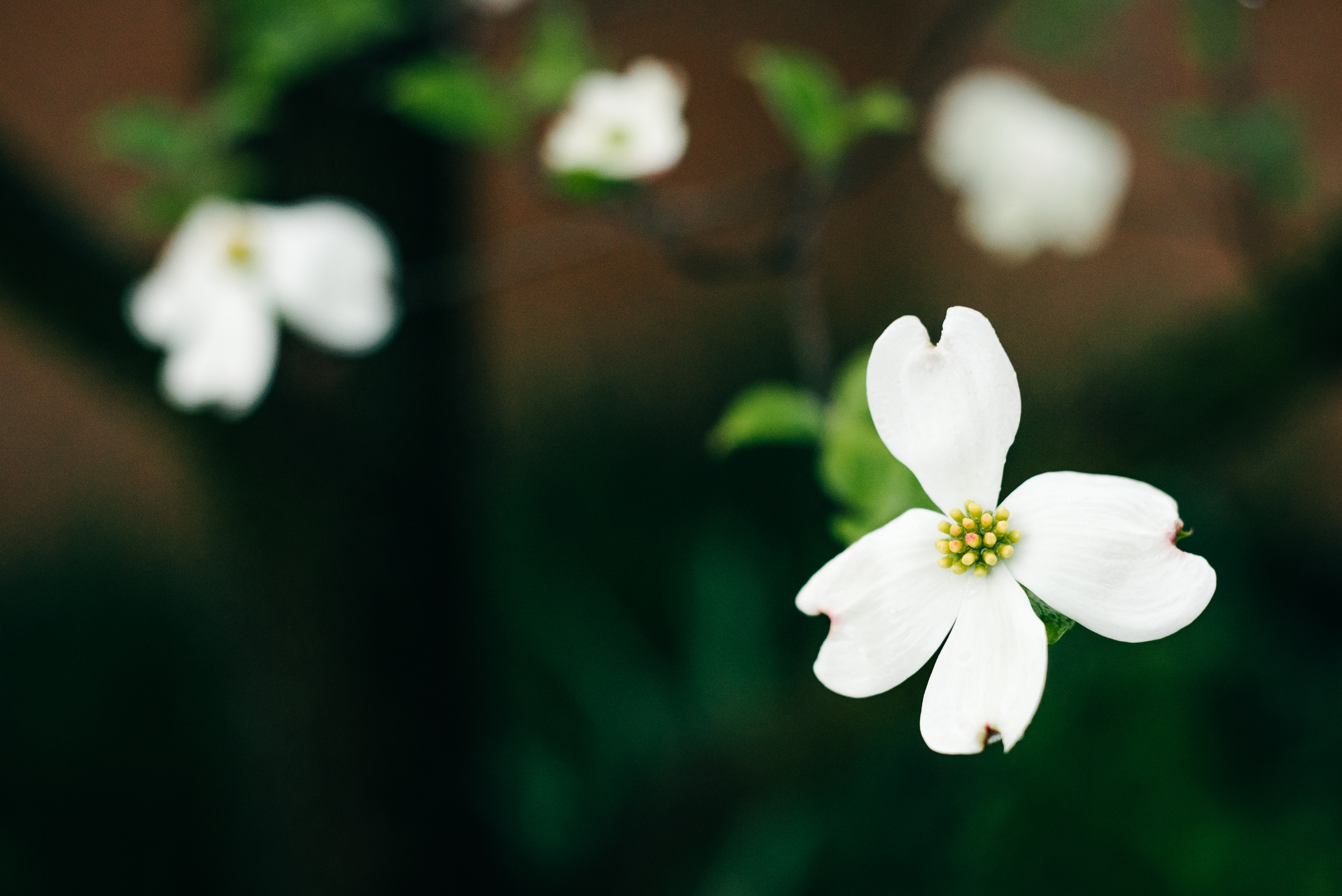 Macro shot of white flower with green stem and leaves in Spring