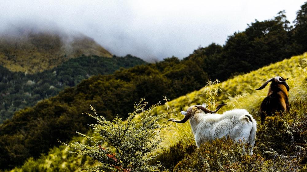 two mountain goat in grass field