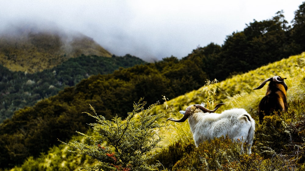 two mountain goat in grass field