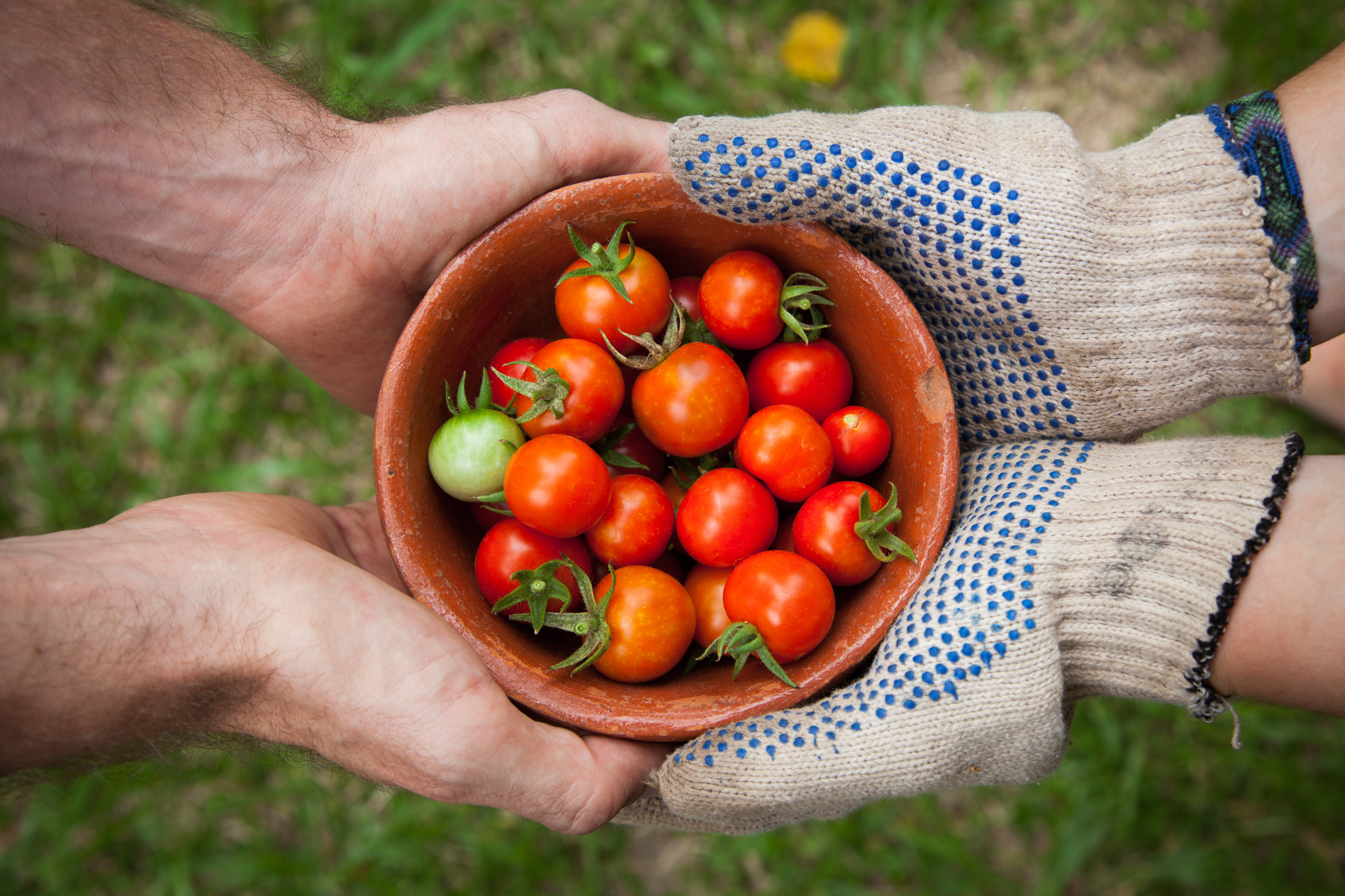One person wearing gloves and another person holding a bowl of red cherry tomatoes