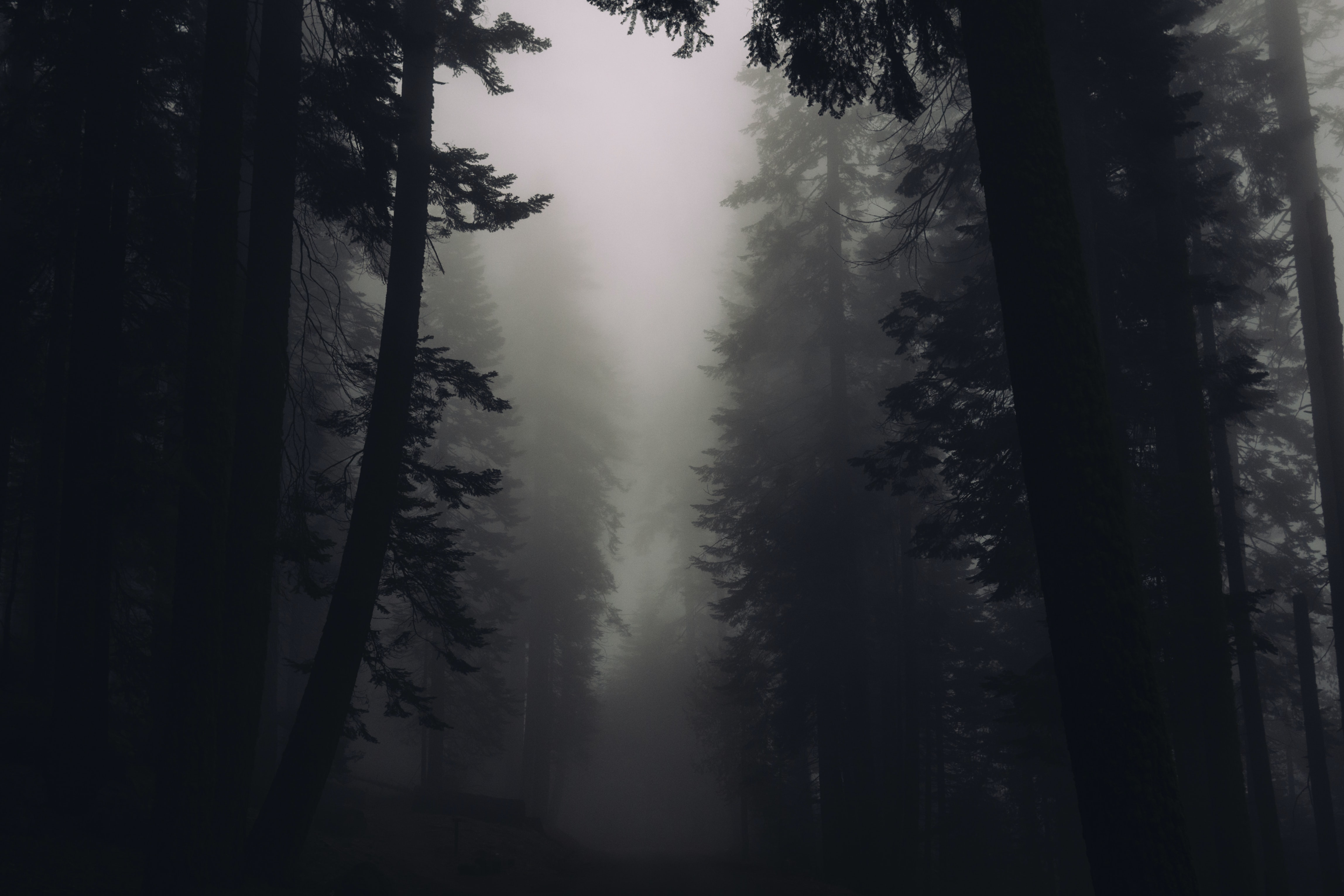 Silhouettes of trees in a misty forest in Sequoia National Park