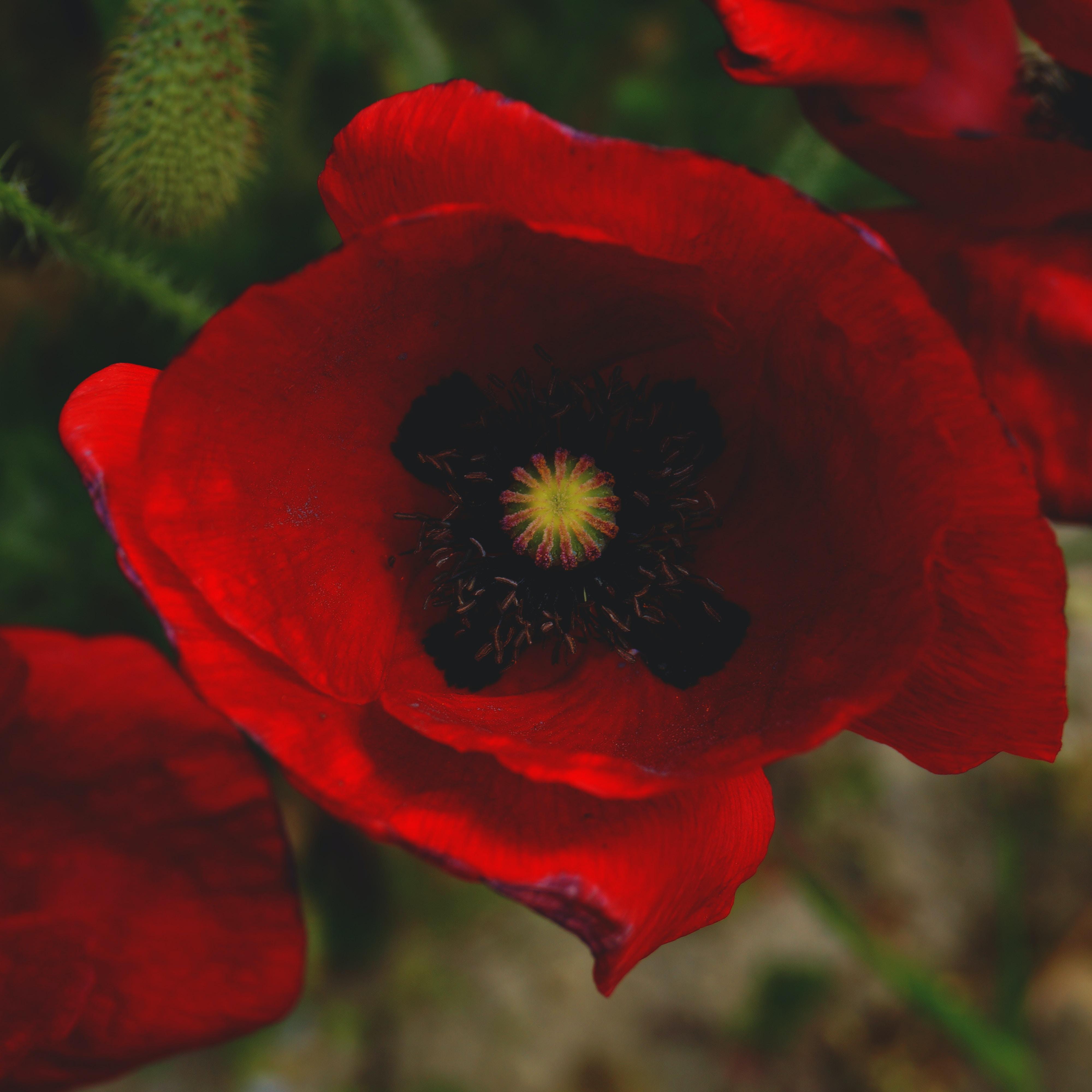 Macro of red poppy flower and green stem in bloom in Spring