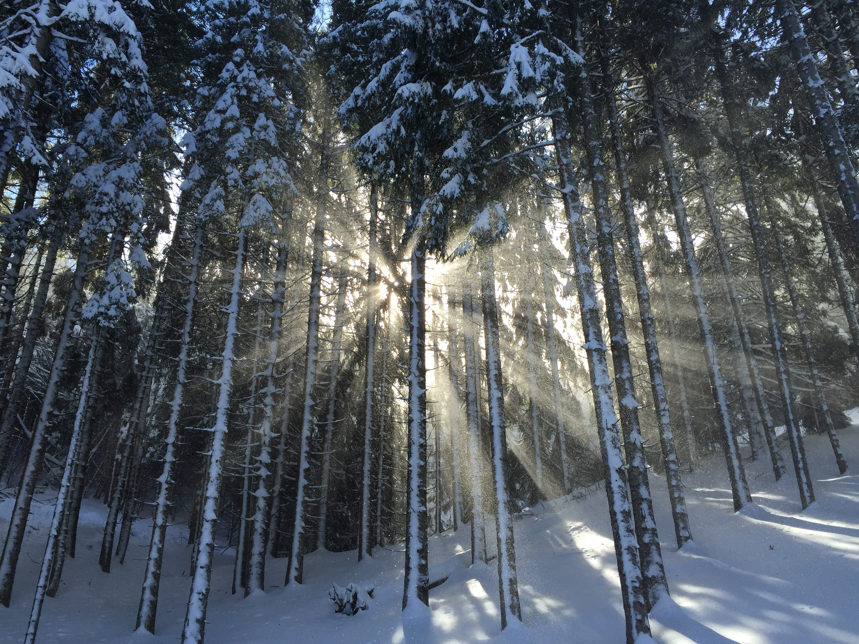 Sun coming through snow capped trees and a snow covered ground