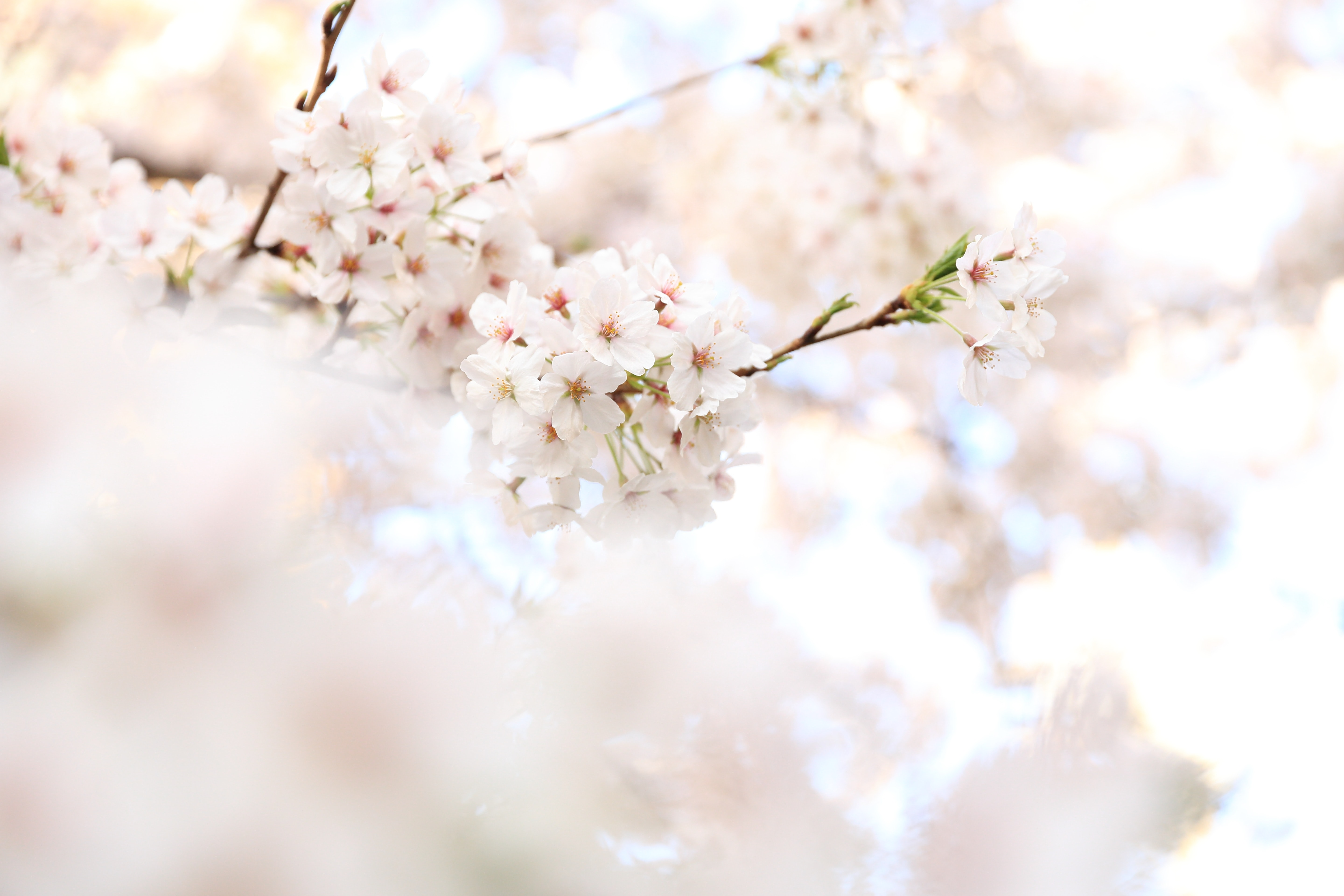 White pink floral blossom on branch in Spring